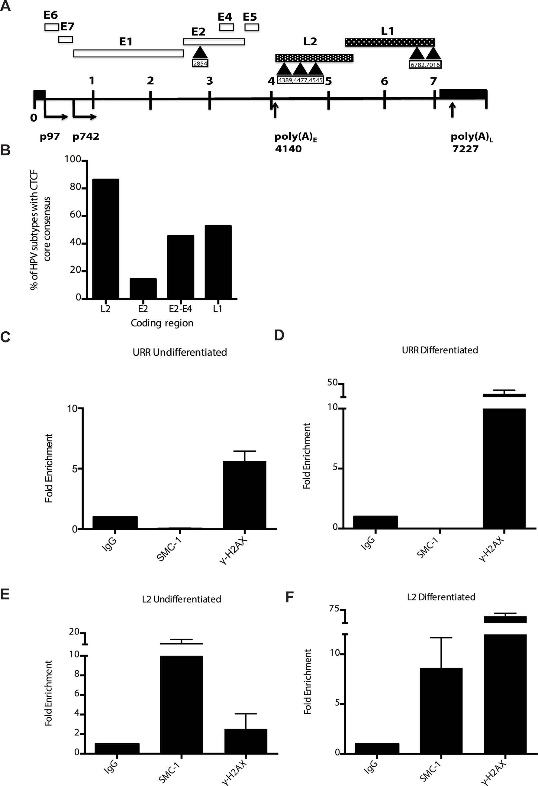 CTCF consensus motifs are found in HPV genomes.