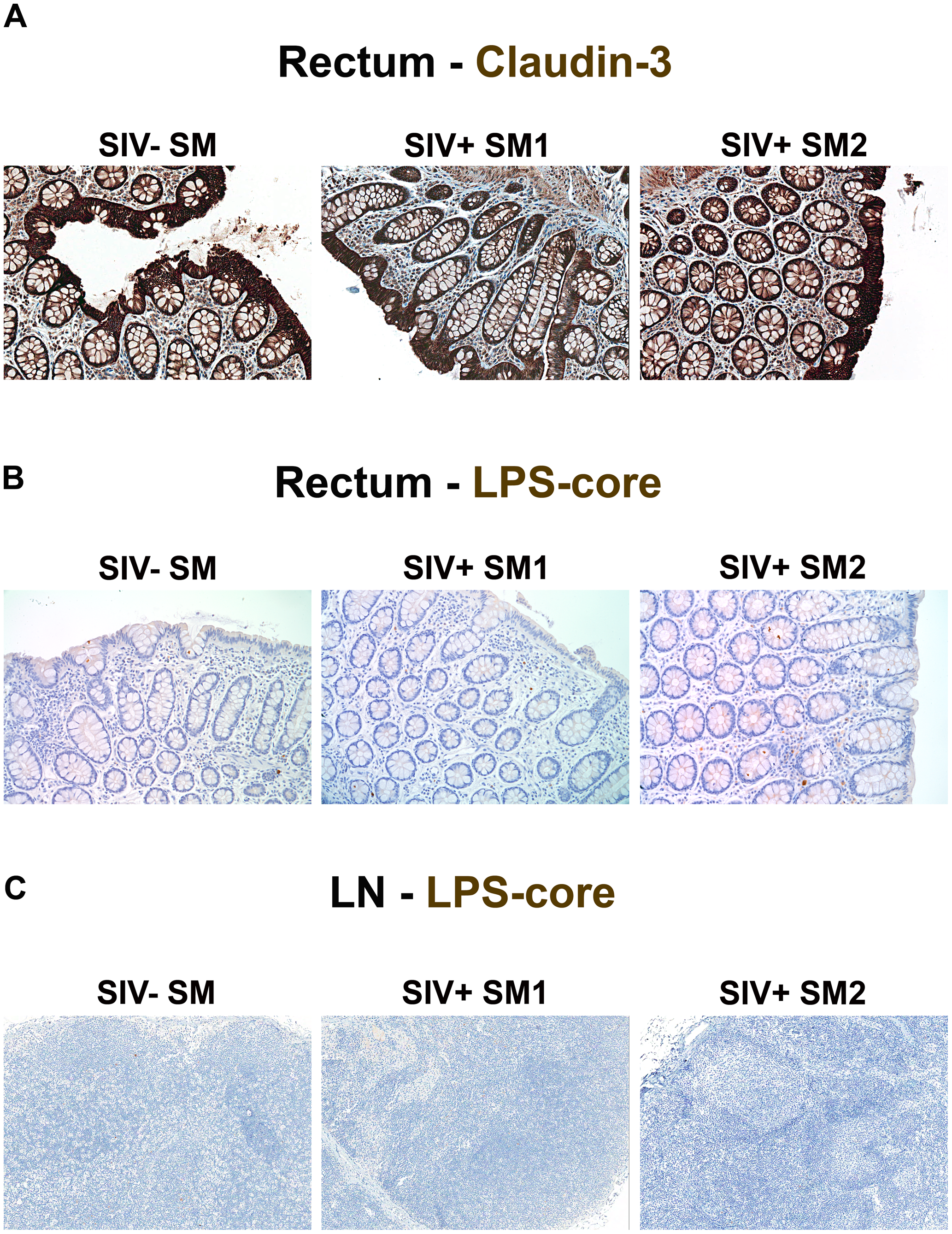 Absence of structural epithelial damage and microbial translocation in non-pathogenic infection of SMs.