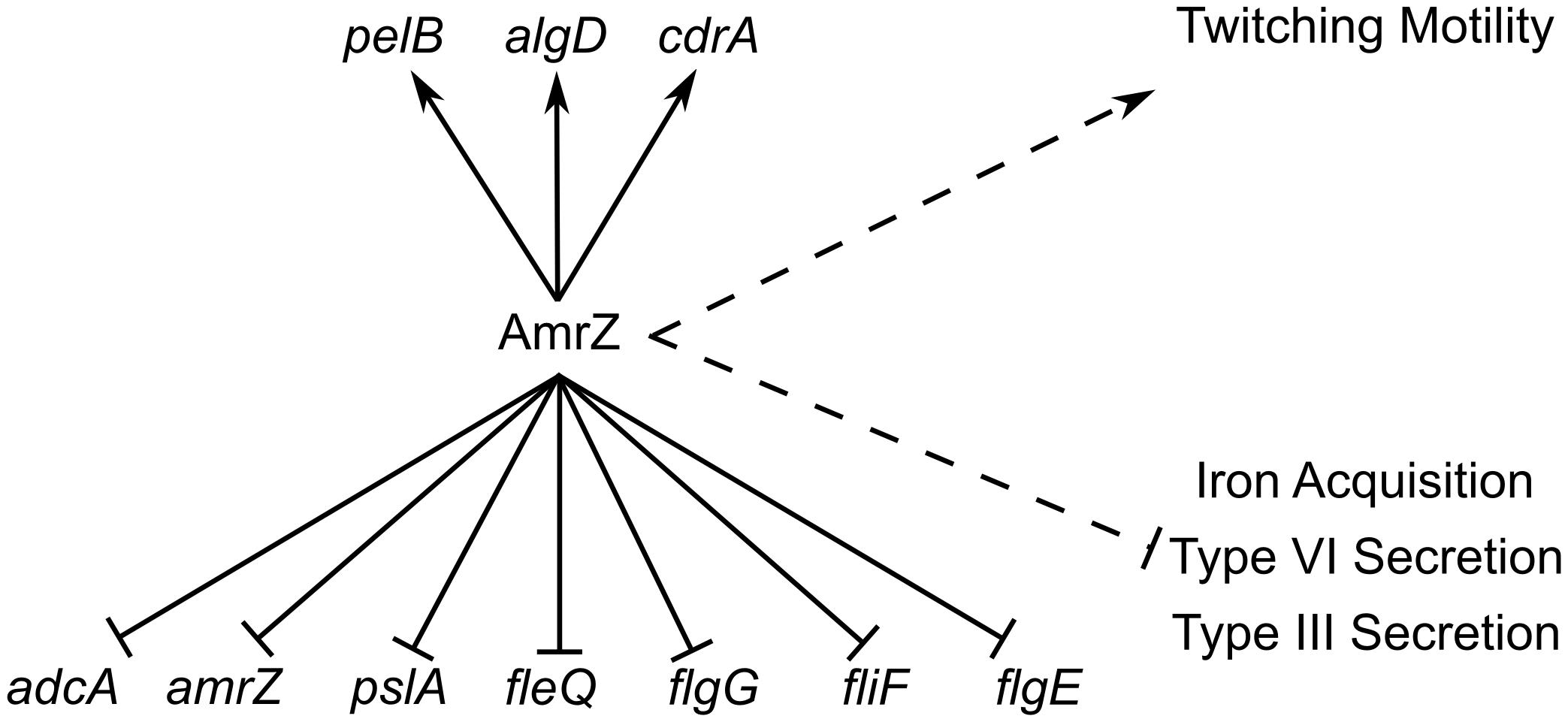 ChIP-Seq and RNA-Seq establish the AmrZ regulon.