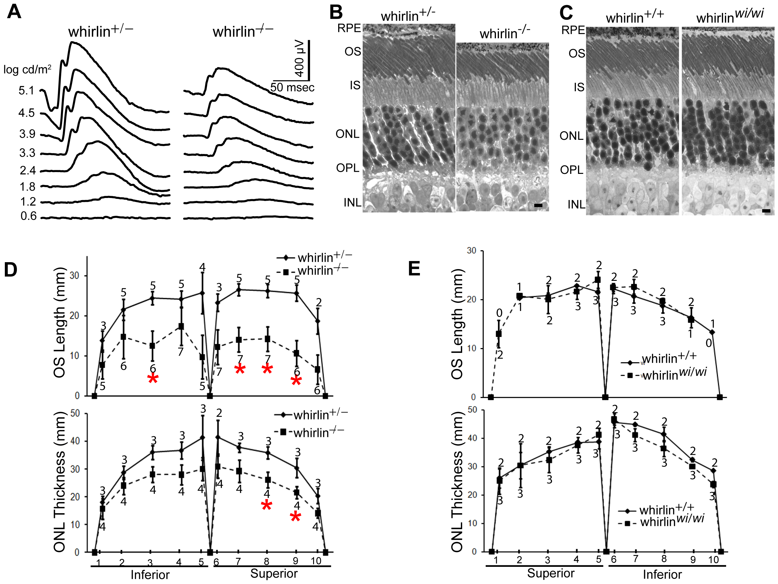 Retinal degeneration becomes apparent in whirlin knockout mice at 28–33 months of age.
