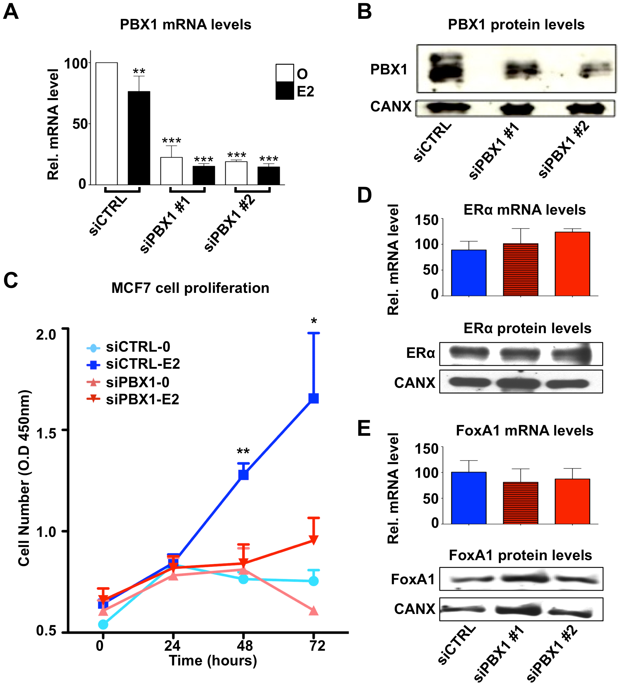 PBX1 is required for the estrogen response in MCF7 cells.