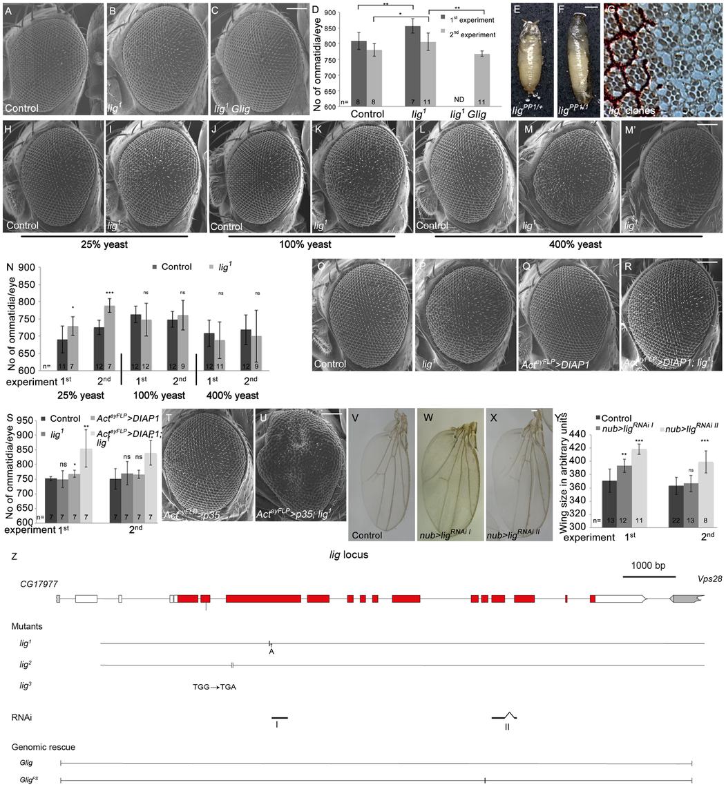 Lig regulates organ size during development.