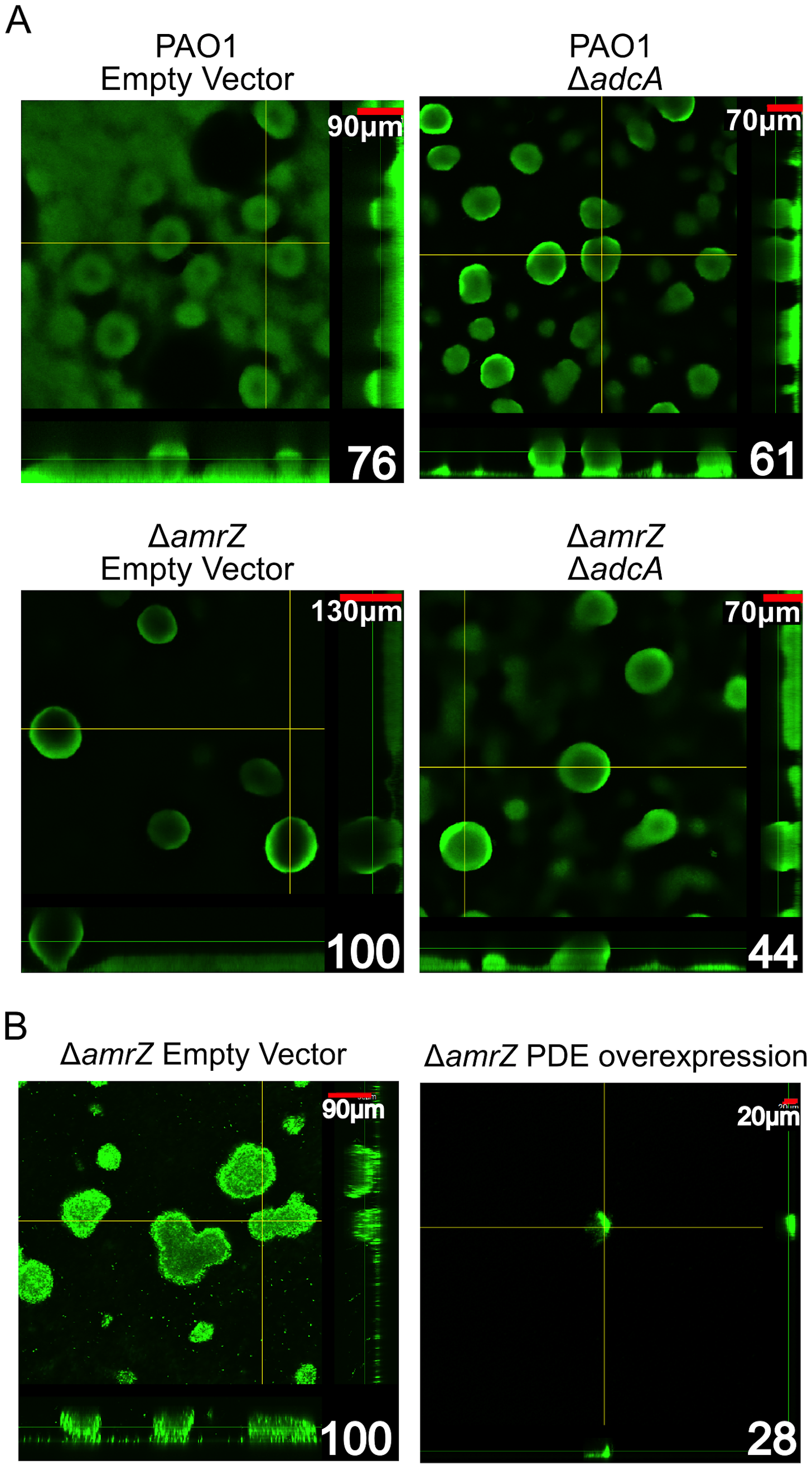 The Δ<i>amrZ</i> mutant strain hyper biofilm phenotype is <i>adcA</i> dependent.