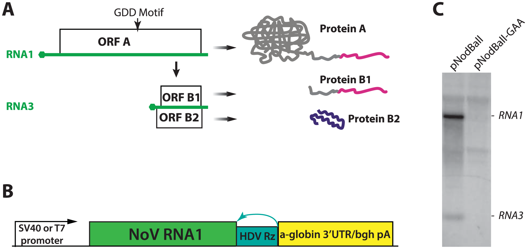 A. A schematic depiction of NoV RNA1 and its translation and replication products.