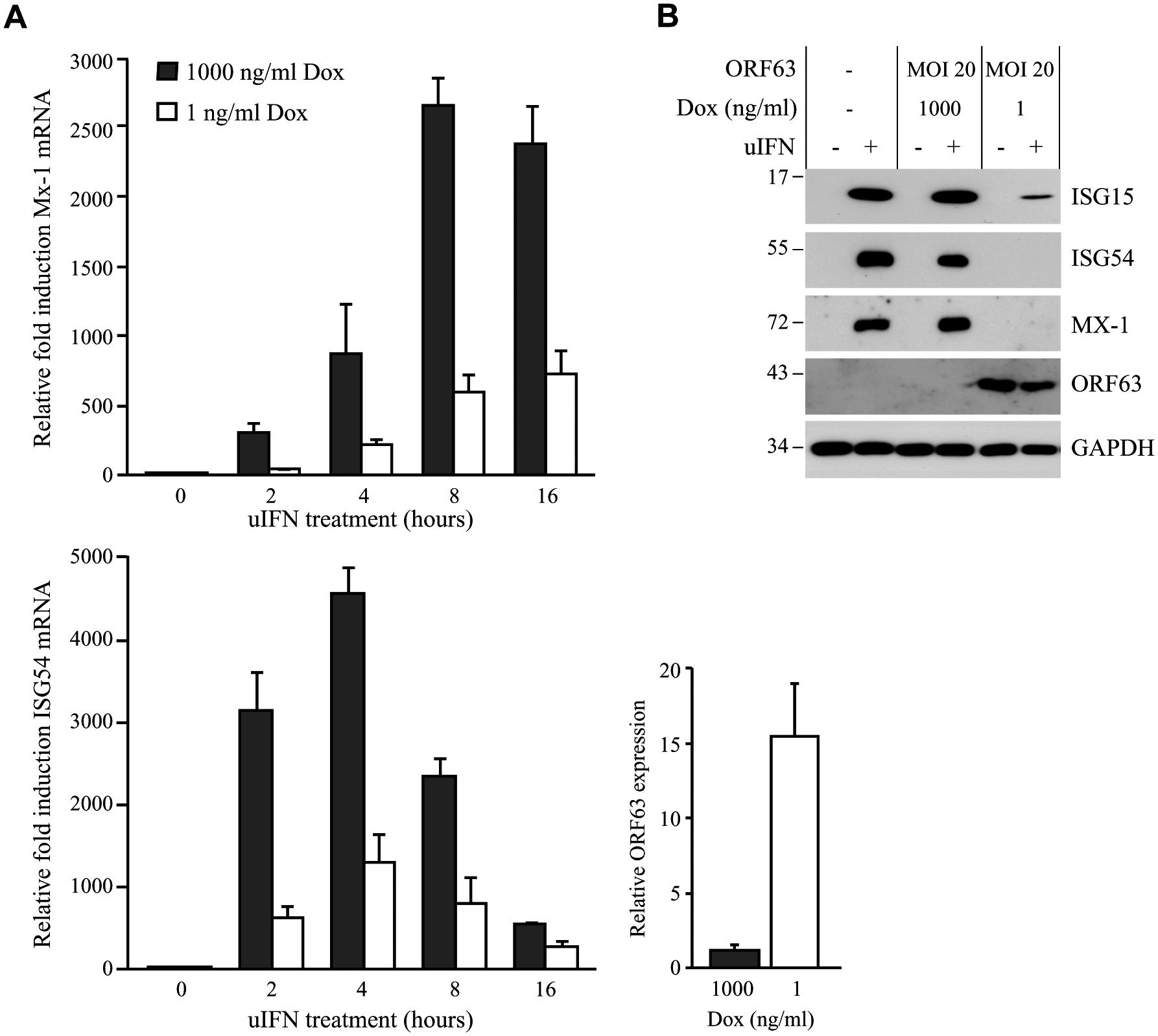 SVV ORF63 inhibits IFN-stimulated gene expression.