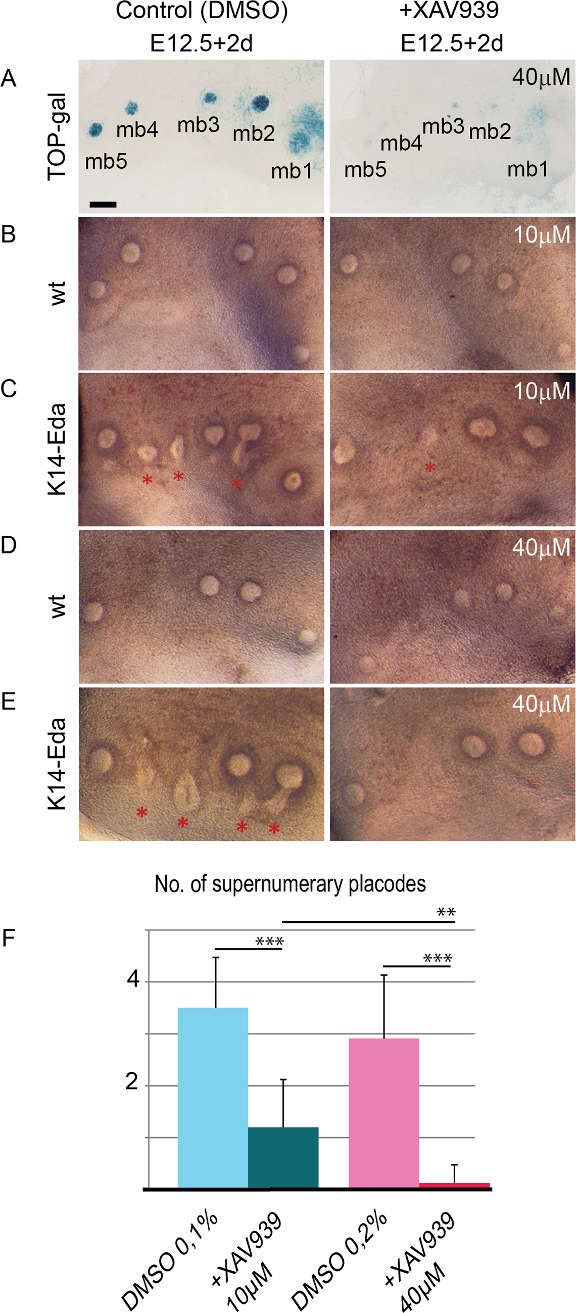 Inhibition of Wnt activity suppresses supernumerary mammary placode formation in a dose-dependent manner in <i>K14-Eda</i> tissue explants.