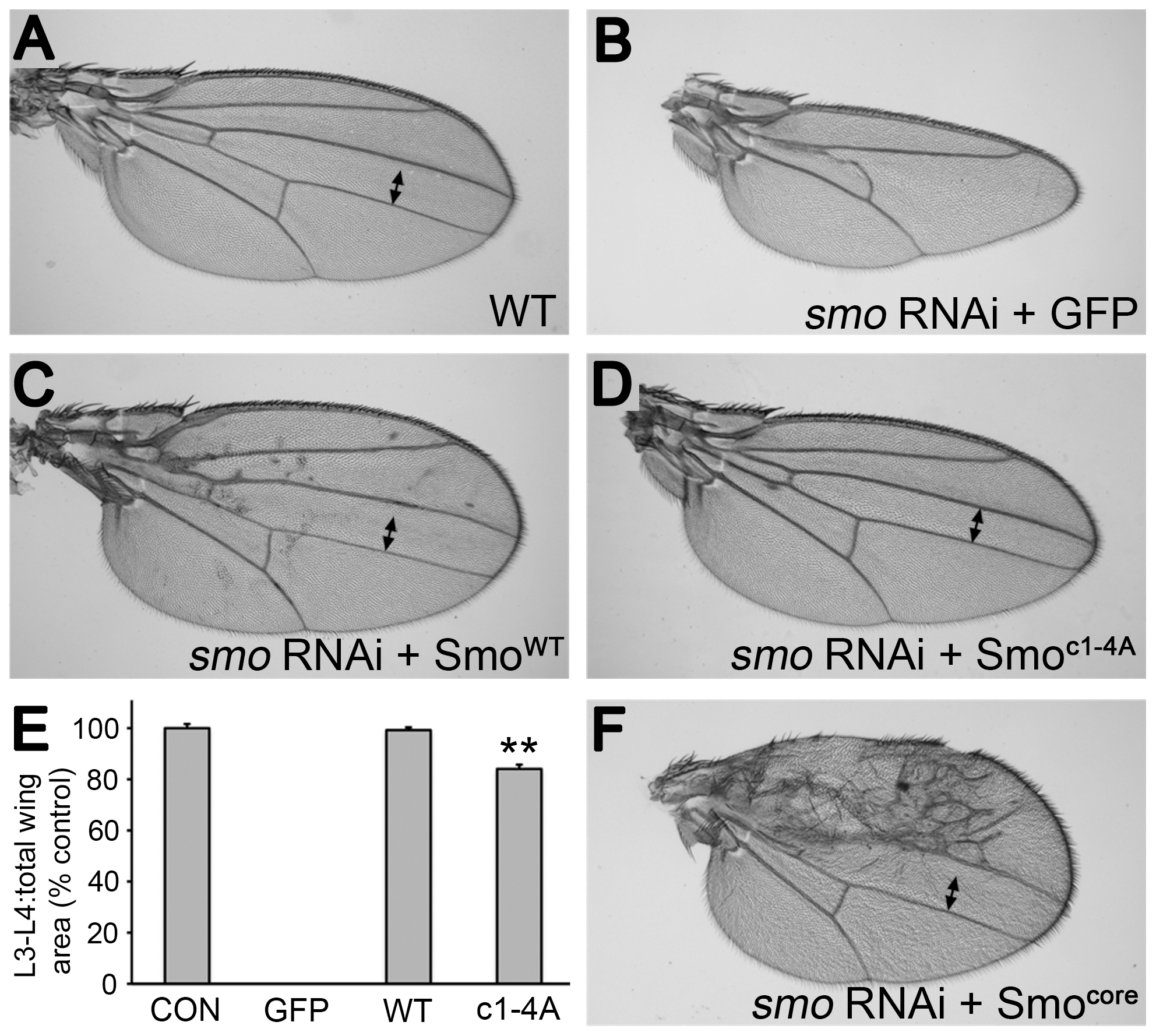 Smo<sup>c1-4A</sup> substantially but not fully rescues development of wings depleted of endogenous Smo.