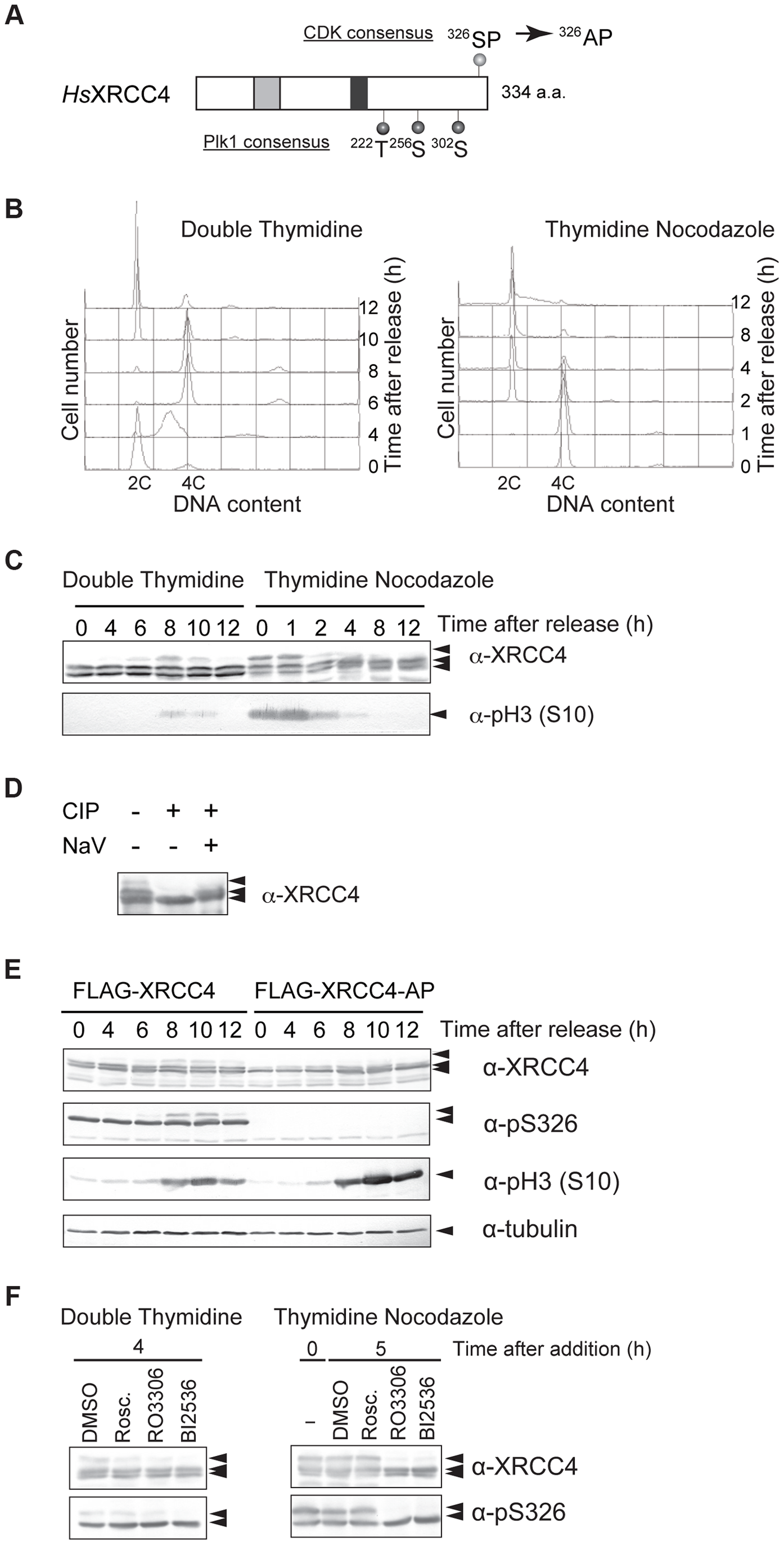 M-phase specific phosphorylation of XRCC4.
