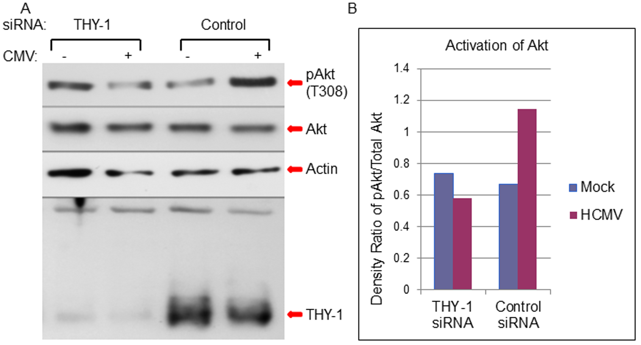 Down-regulation of THY-1 expression blocks HCMV-induced activation of Akt MRC-5 cells were nucleofected with THY-1 specific or control non-targeting siRNAs as described in <em class=&quot;ref&quot;>Fig 1</em>.