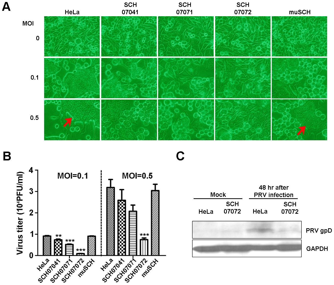 3D8 scFv expression in transgenic HeLa cells confers resistance to PRV.