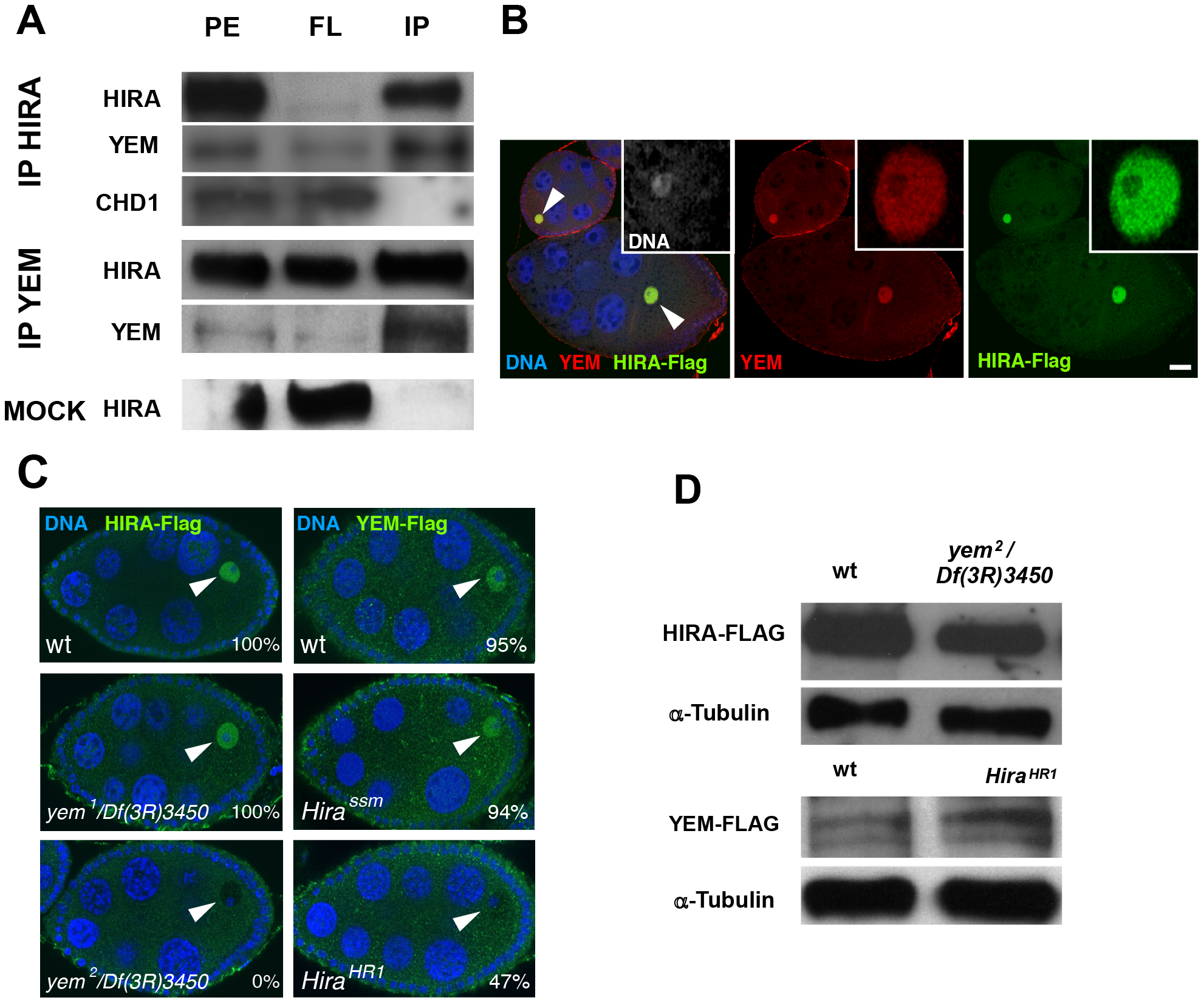 YEM and HIRA are interdependent for their localization in the germinal vesicle.