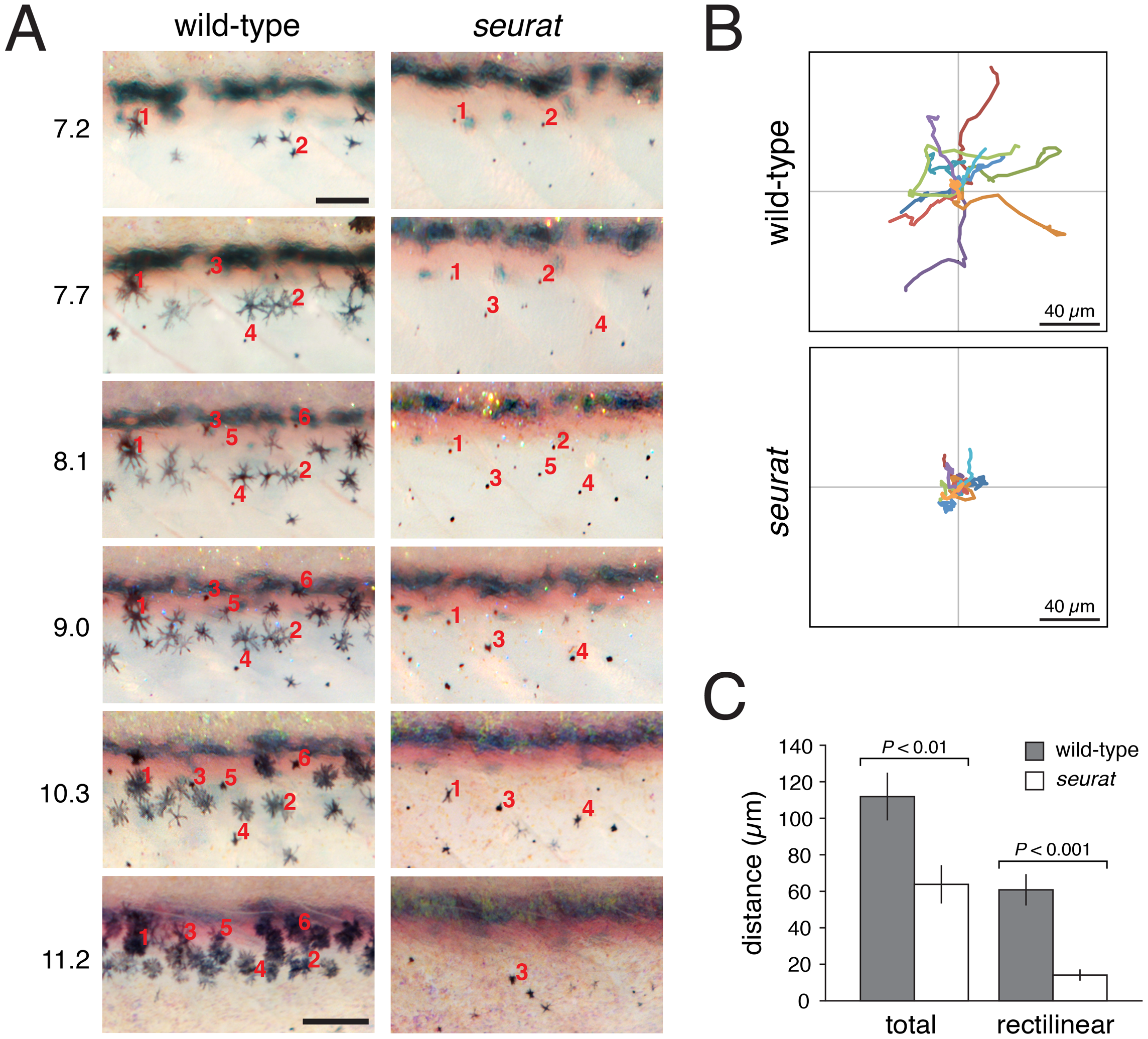 <i>igsf11</i>-dependent migration and survival of melanophores.