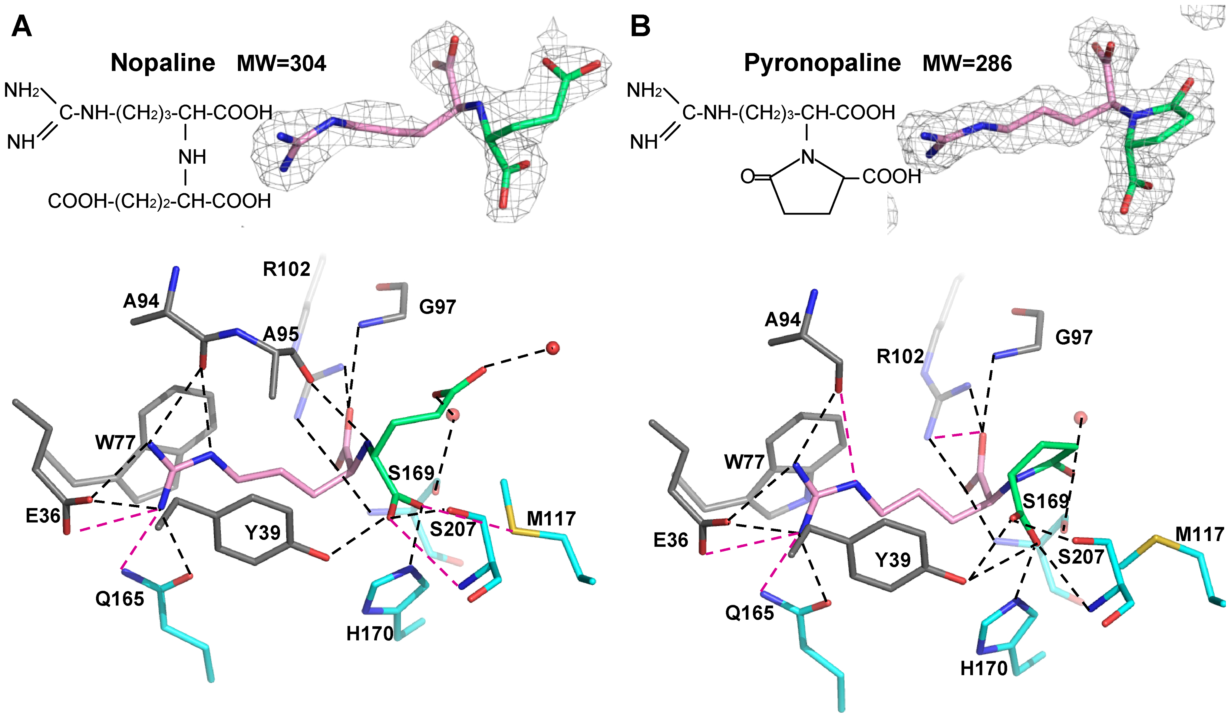 Nopaline (A) and pyronopaline (B) bound to the ligand binding site of NocT are shown as pink/limegreen and pink/blue stick in their simulated annealing Fo-Fc omit map contoured at 4 σ, respectively.