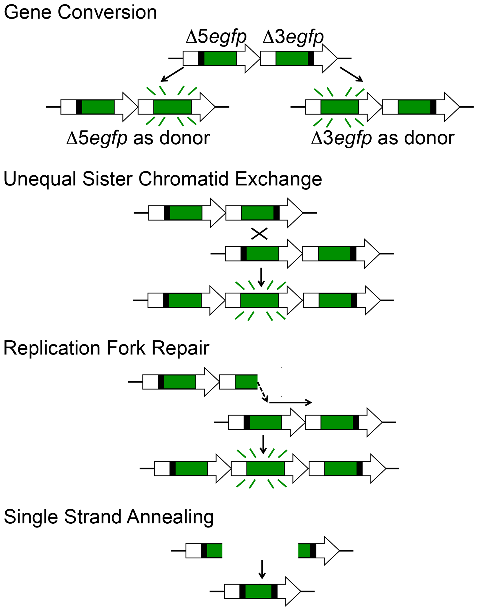 HR at the RaDR-GFP substrate can give rise to fluorescence following gene conversion, sister chromatid exchange, and replication fork repair, but not following SSA.