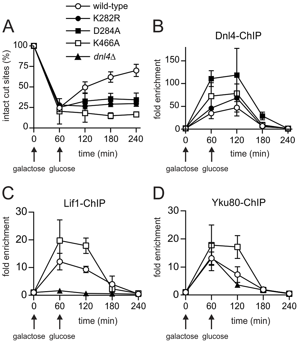 Extensive recruitment of catalytically inactive Dnl4 and associated c-NHEJ factors to a chromosomal DSB.