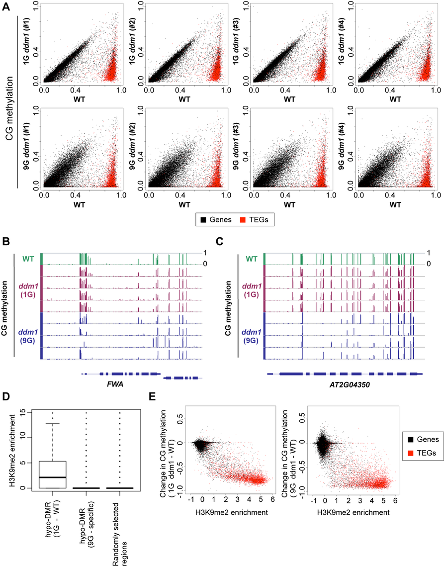 Change of CG methylation during self-pollination of <i>ddm1</i> mutants.