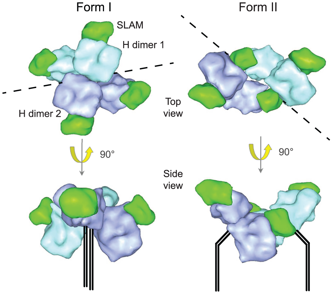 Representation of MeV H head domains complexed with soluble Slam receptor based on the coordinates reported by Hashiguchi and colleagues <em class=&quot;ref&quot;>[<b>31</b>]</em>.