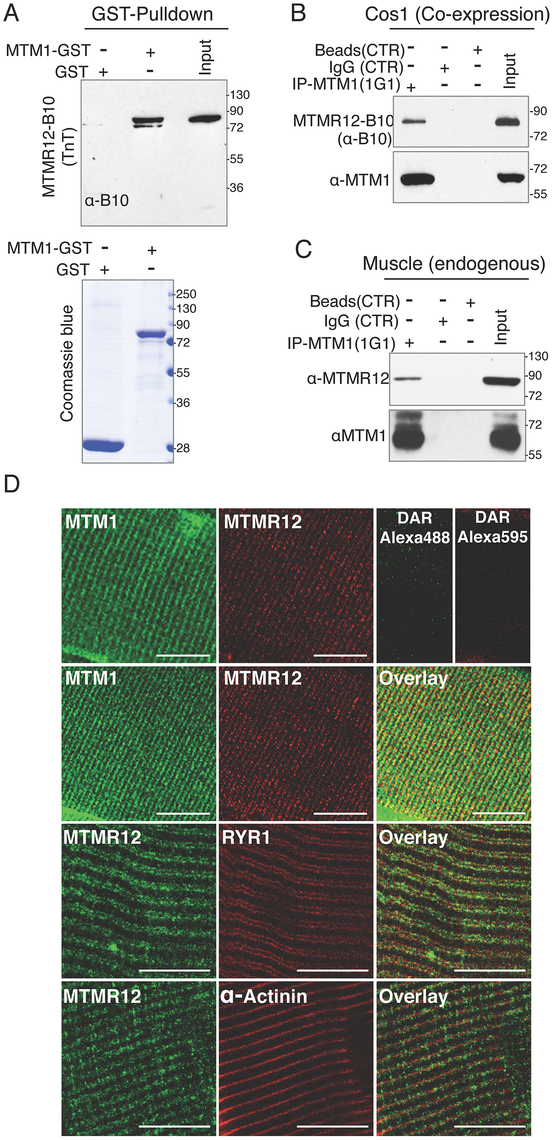 Protein-protein interactions between myotubularin and MTMR12 proteins.