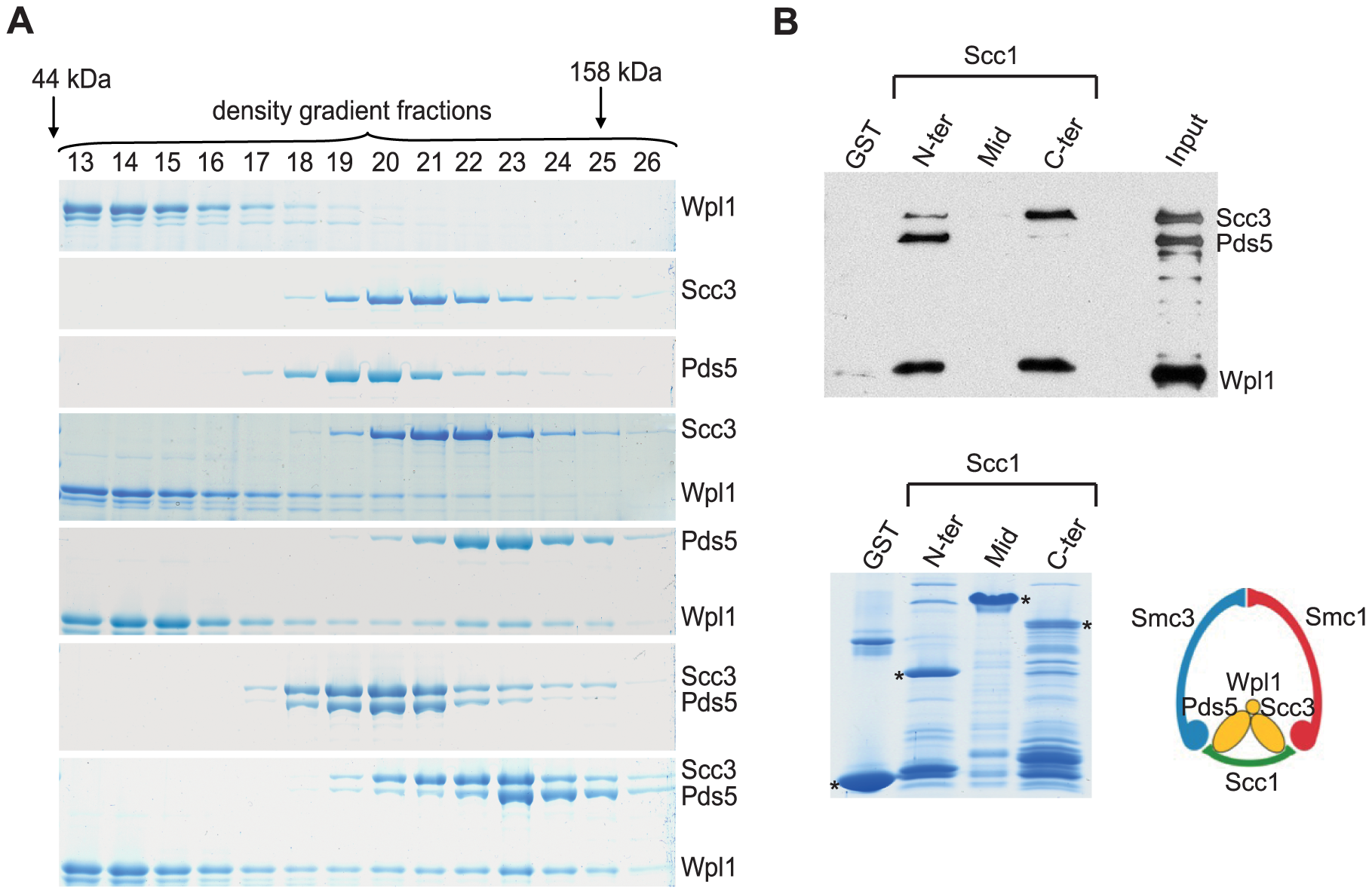 "Scc3, Pds5, and Wpl1 form a complex and associate with Scc1 ""core"" subunit of cohesin."