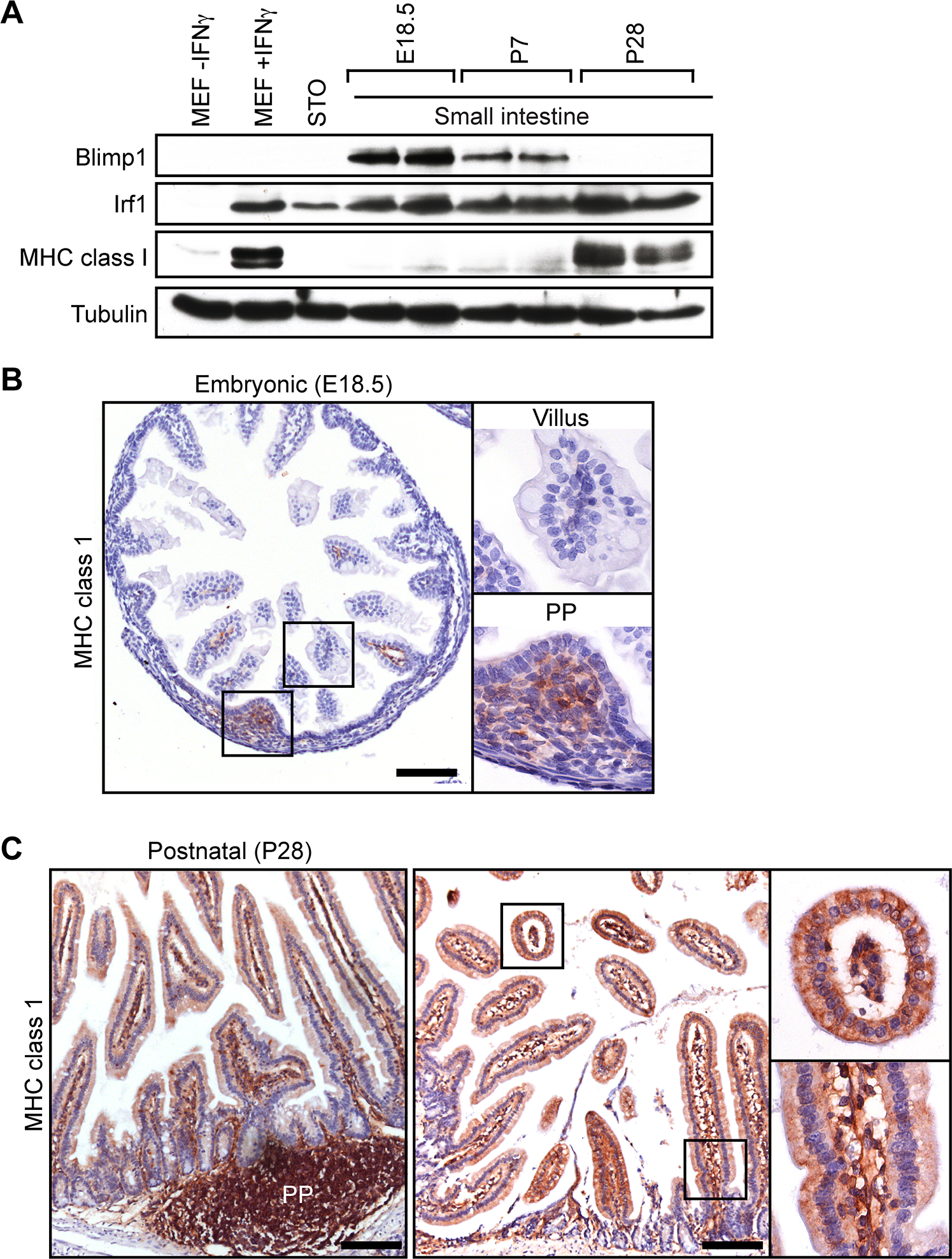 The onset of MHC class I expression coincides with down-regulated Blimp1 expression during the suckling to weaning transition.