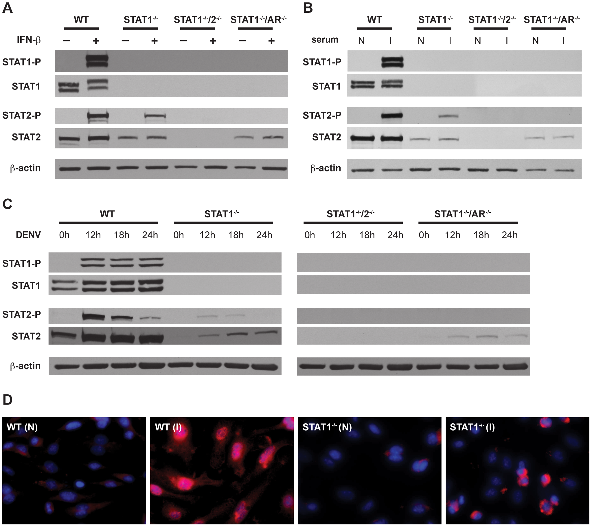 Activation of STAT1 and STAT2 in bone marrow-derived macrophages.