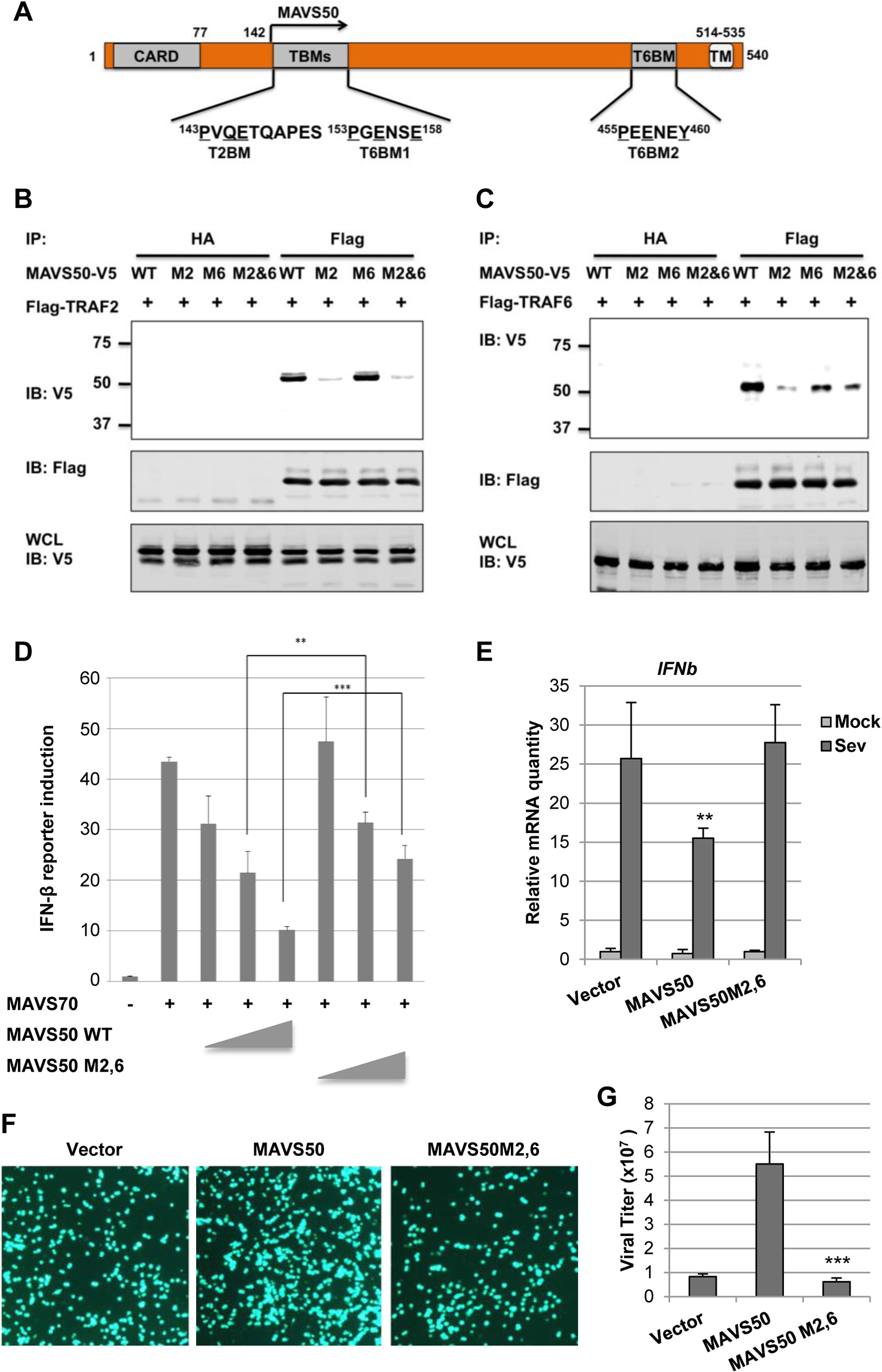 The N-terminal TRAF2-binding motif is critical for MAVS50 to inhibit IFN induction.