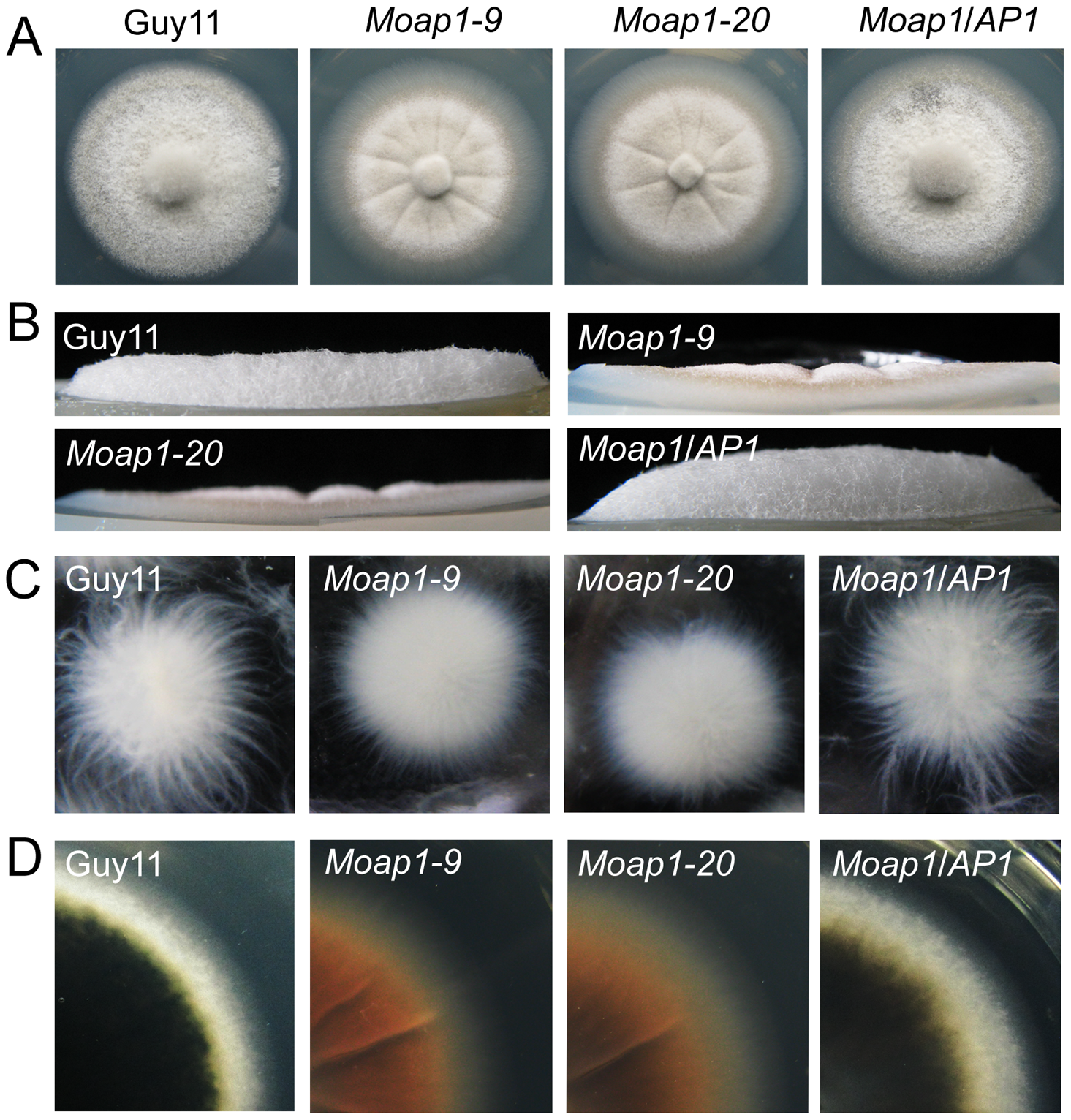 The effect of MoAP1 on mycelia growth.