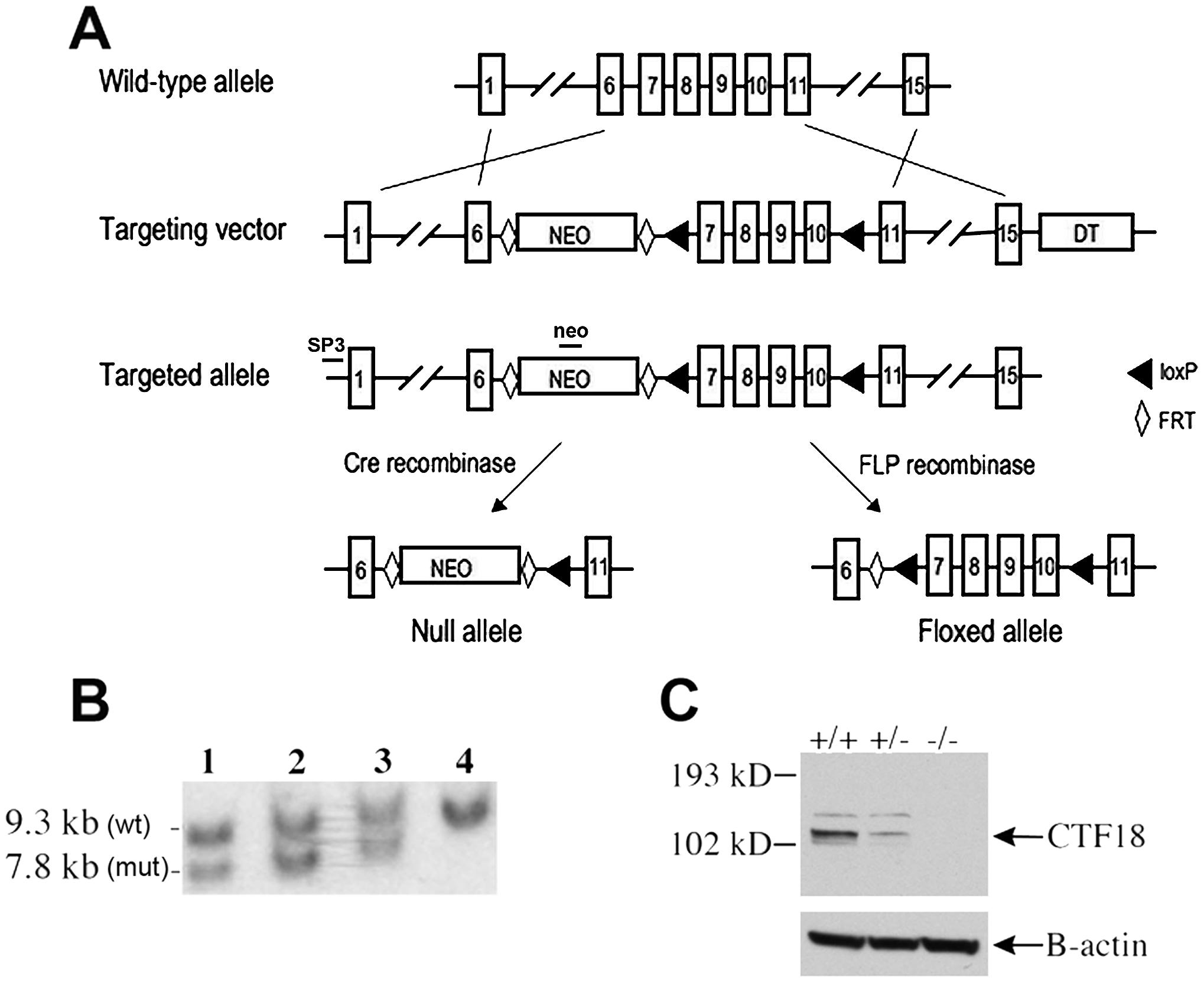 Derivation of <i>Chtf18</i><sup>−/−</sup> and <i>Chtf18<sup>flox/flox</sup></i> mice.