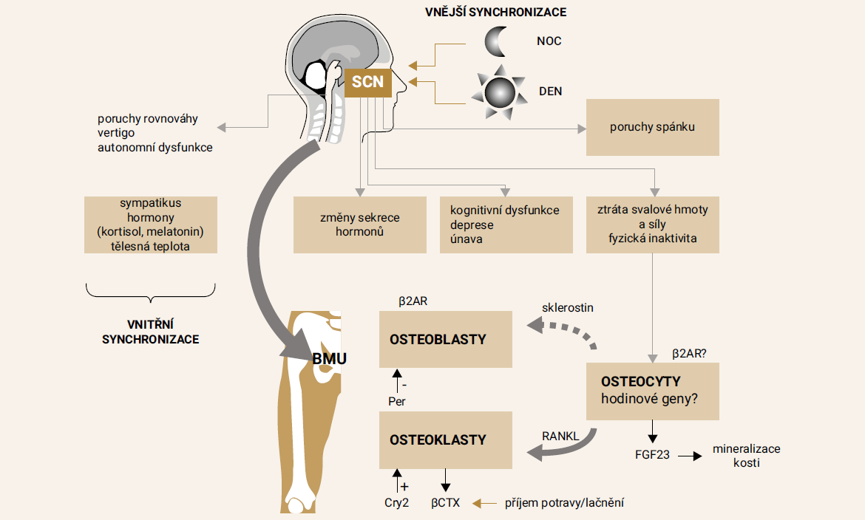 Schéma 2. Schéma systémů s poruchou cirkadiánního rytmu u roztroušené sklerózy a synchronizace mezi centrálními (suprachiazmatická jádra hypotalamu - SCN) a periferními hodinovými geny v kostní mnohobuněčné jednotce (BMU)