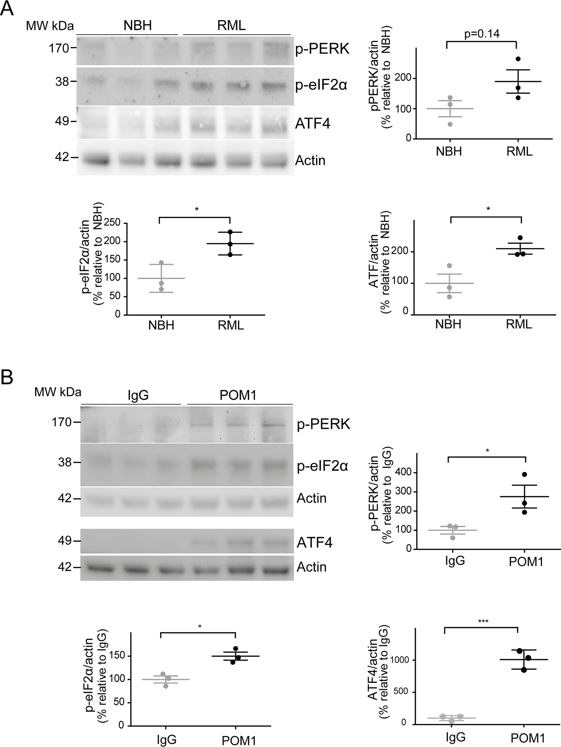 ER stress is detected in both prion-infected and GDL-exposed COCS.