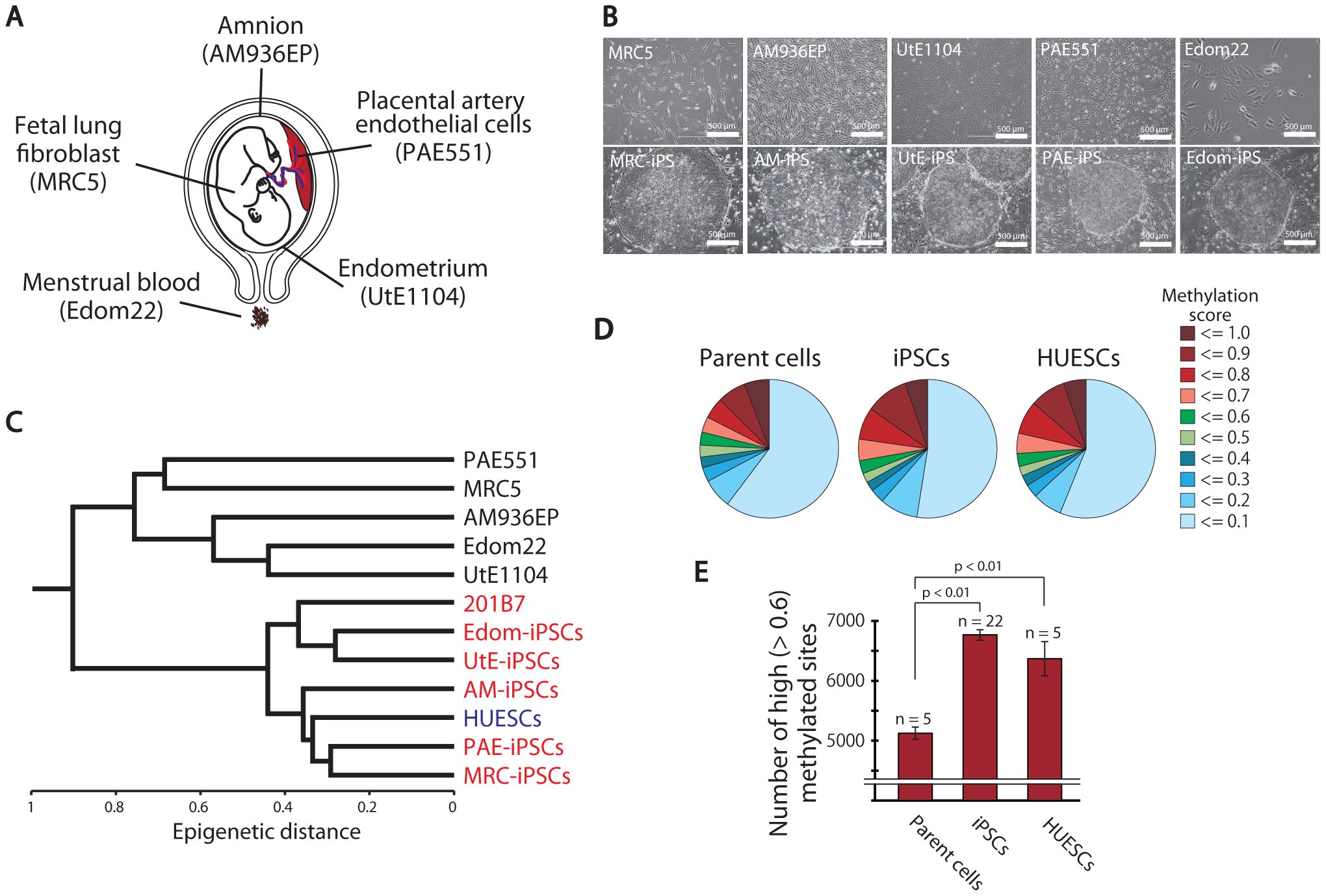 Pluripotent stem cells are significantly more hyper-methylated than their parent cells.