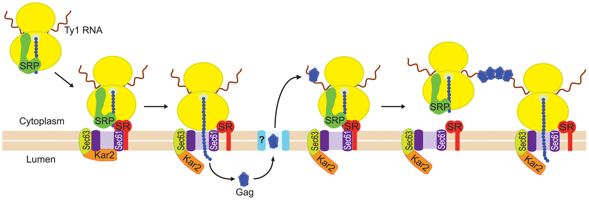 Model for nucleation of Ty1 retrosomes by coalescence of SRP-associated Ty1 translation complexes.
