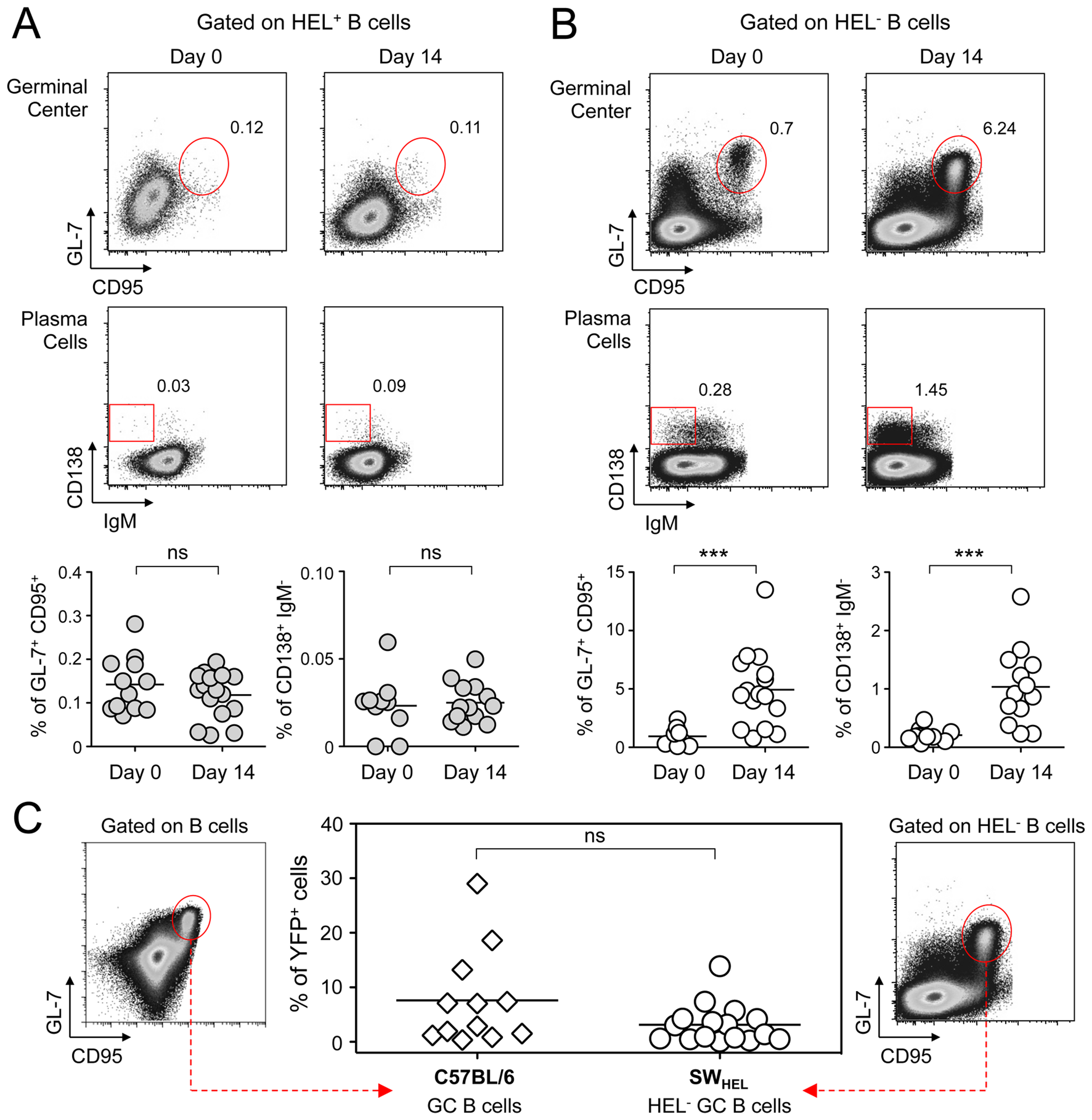 GC and plasma cell differentiation are restricted to the HEL<sup>−</sup> B cells.