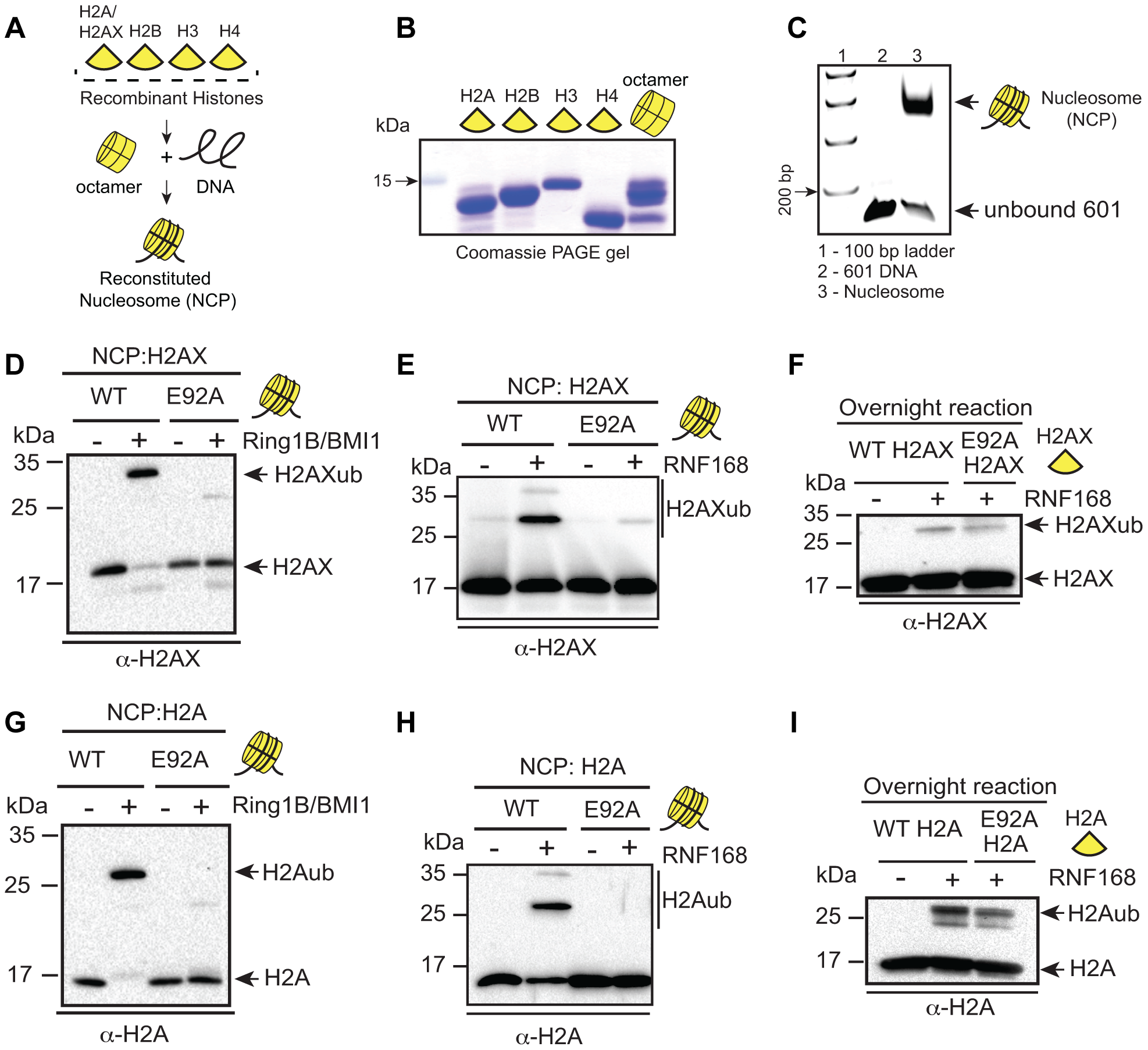 RING1B/BMI1- and RNF168-dependent ubiquitination of H2AX/H2A requires the nucleosome acidic patch <i>in vitro</i>.