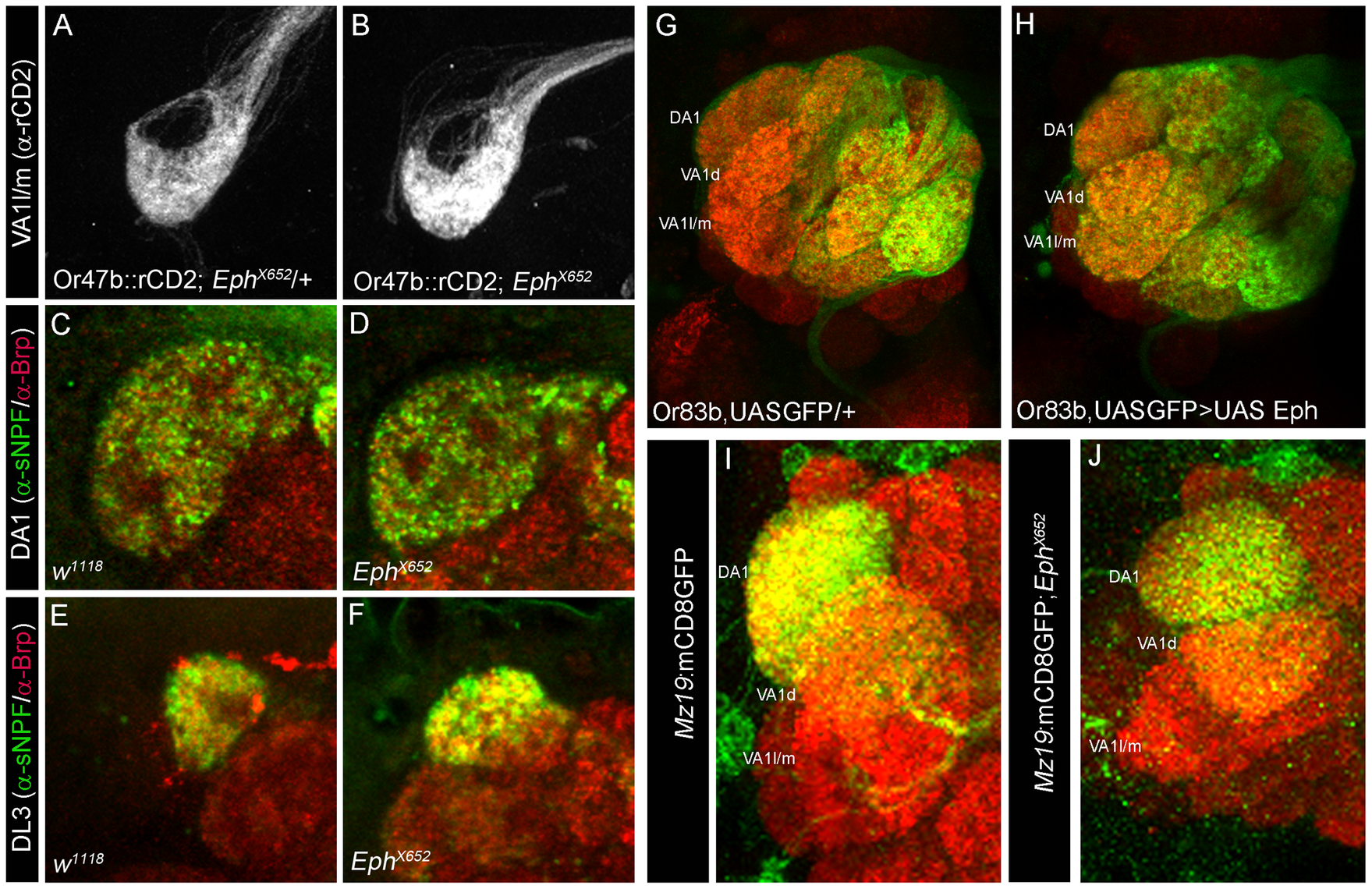 Eph function is not required for appropriate targeting of OSNs and uniglomerular PNs.