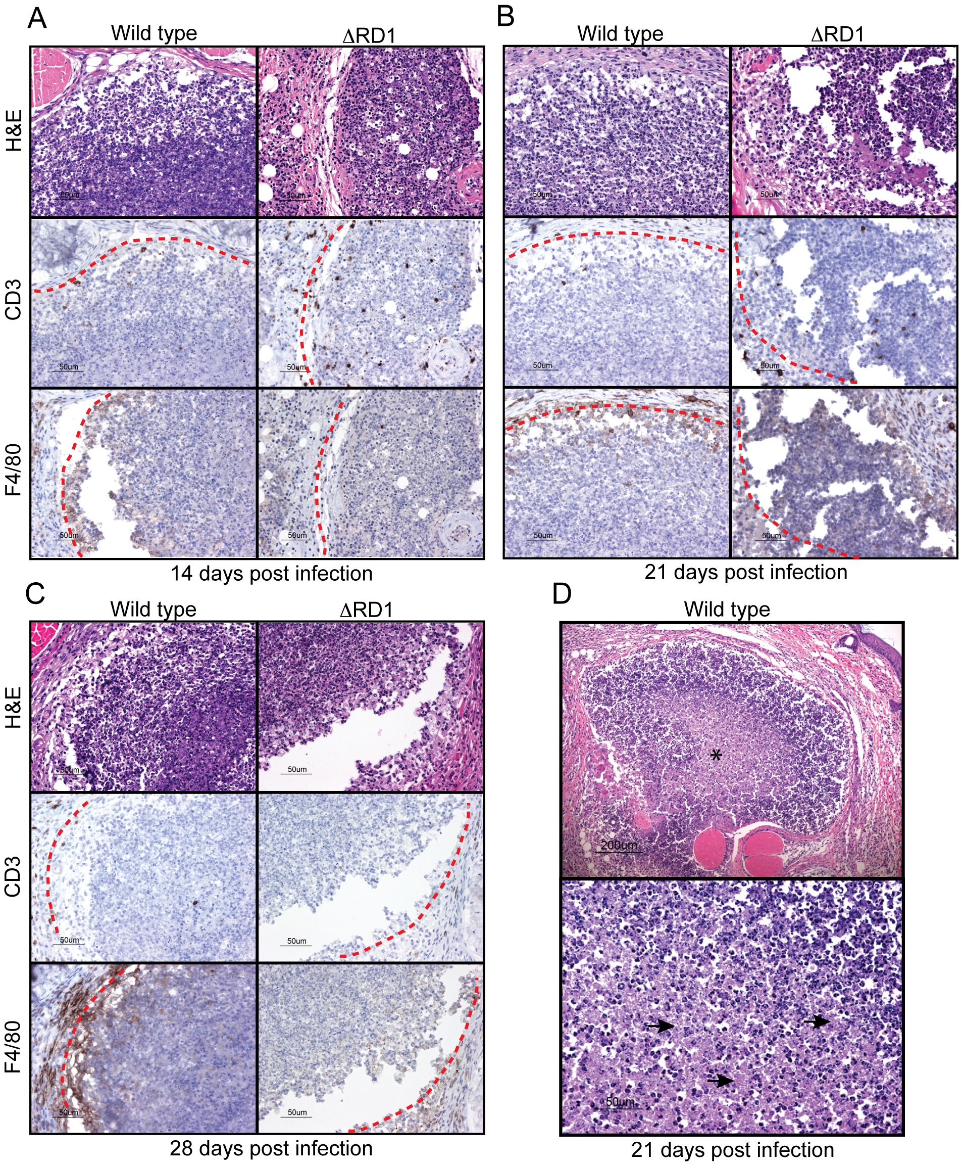 <i>M. marinum</i> cause formation of granulomas, similar to those formed in human tuberculosis, in an Esx-1-dependent manner.