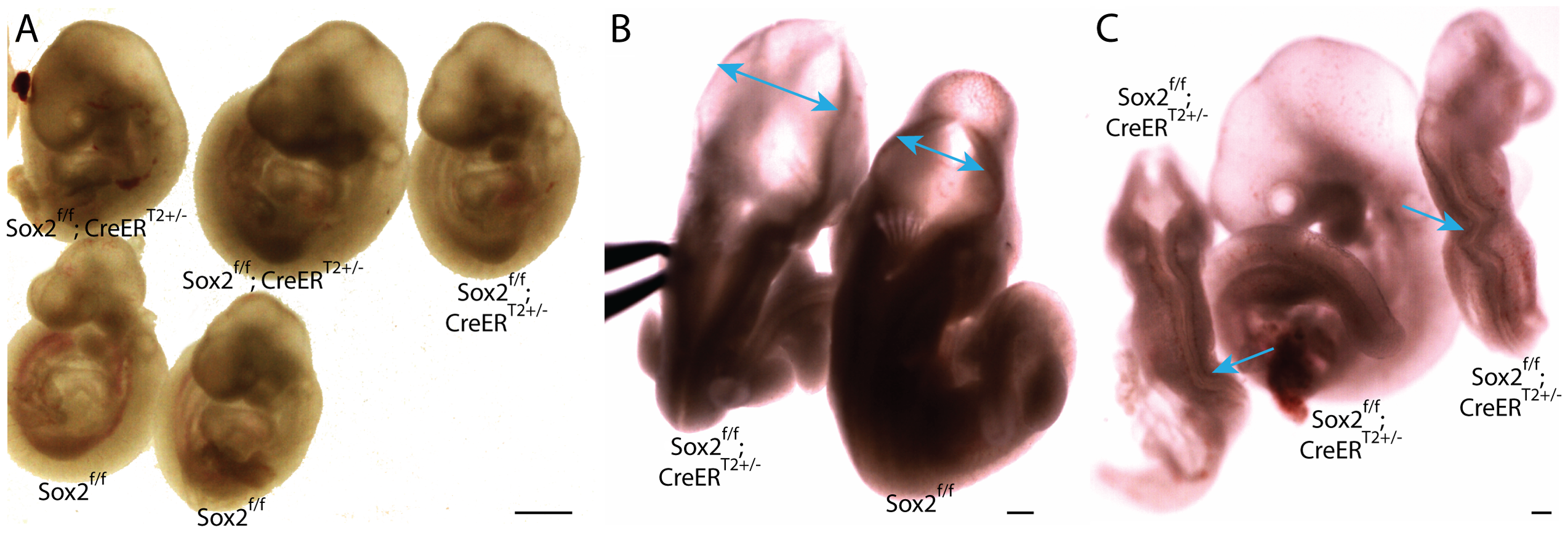Depletion of pluripotency factor Sox2 does not phenocopy Oct4 depletion ∼E7.5.