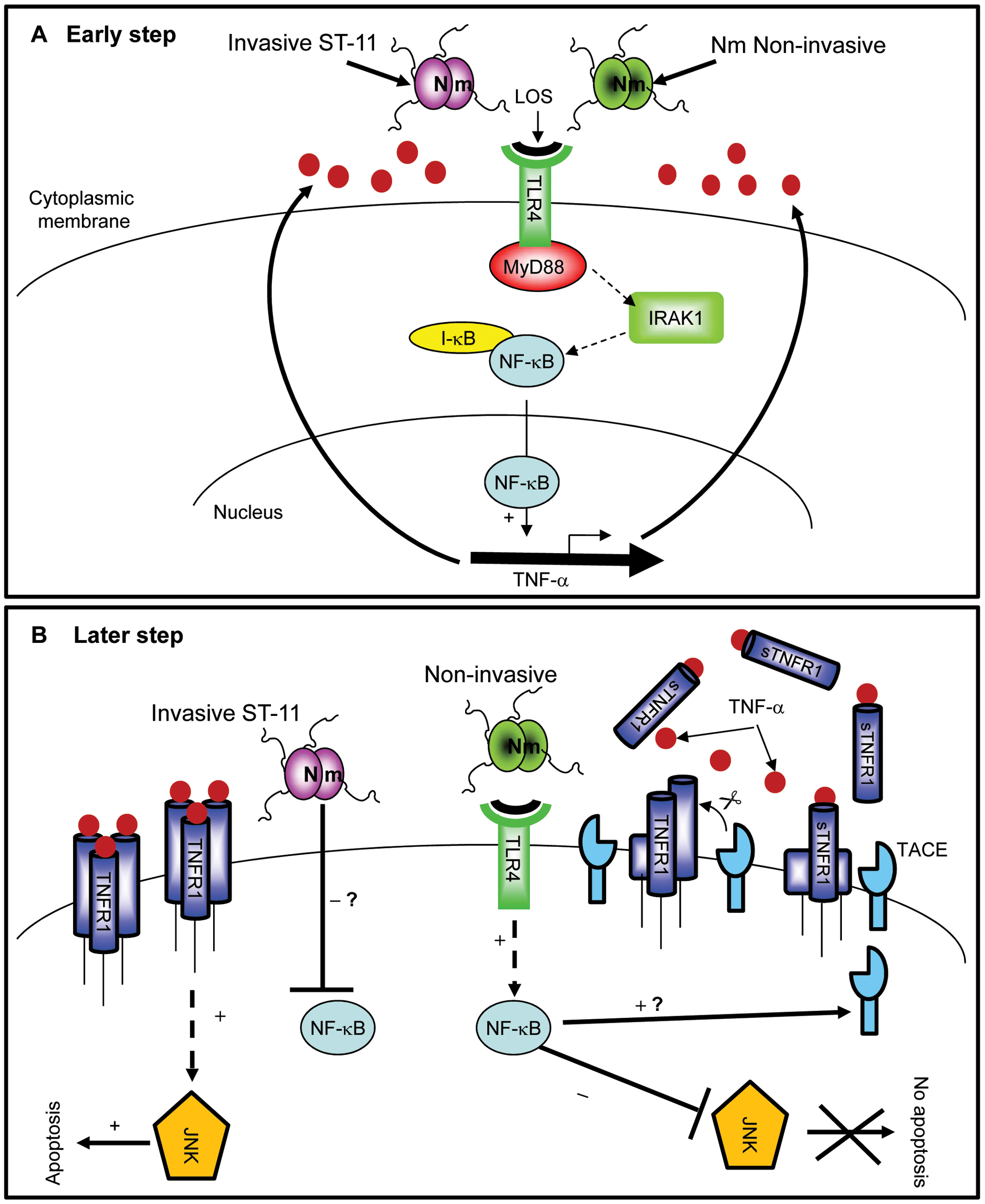 Differential modulation of NF-κB activity by invasive ST-11 and non-invasive carriage isolates leading to cell death and survival of epithelial cells.