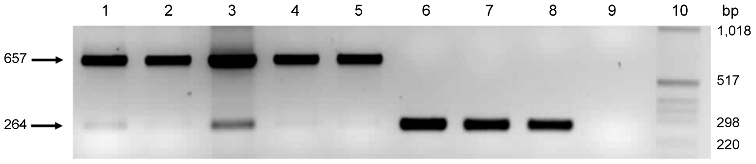 Variable number of tandem repeats polymerase chain reaction (PCR) for the <i>pmp</i>G6 gene.