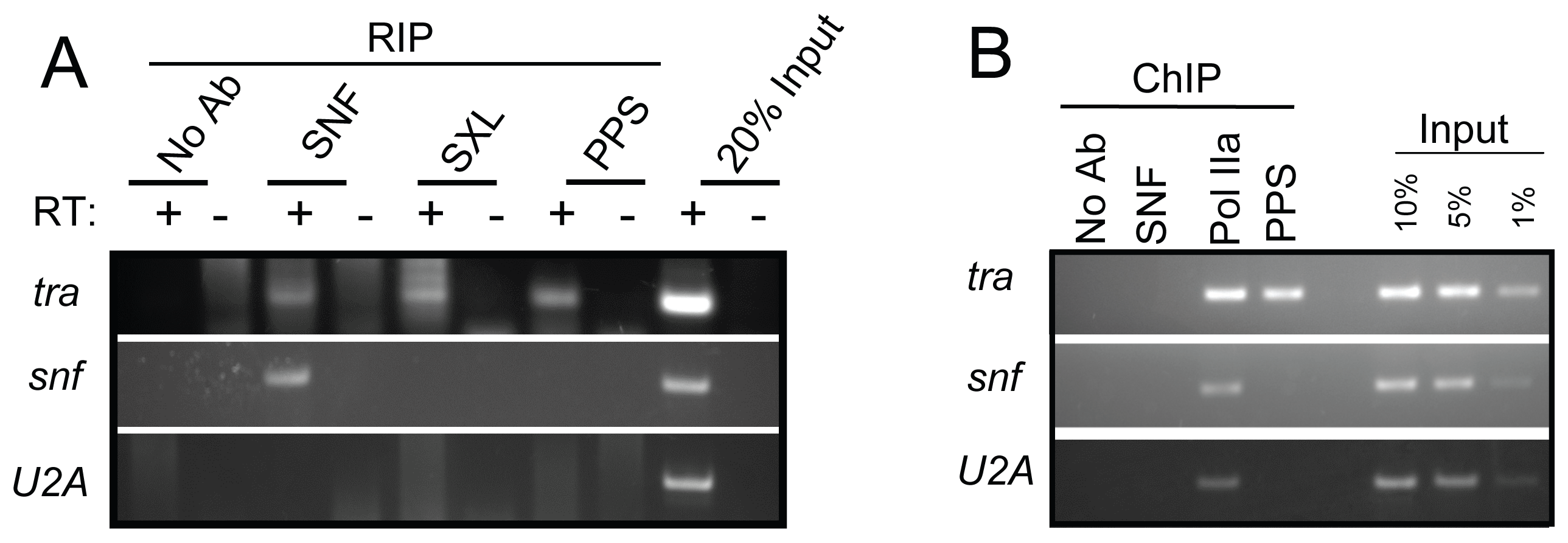 <i>tra</i> is a PPS target gene.