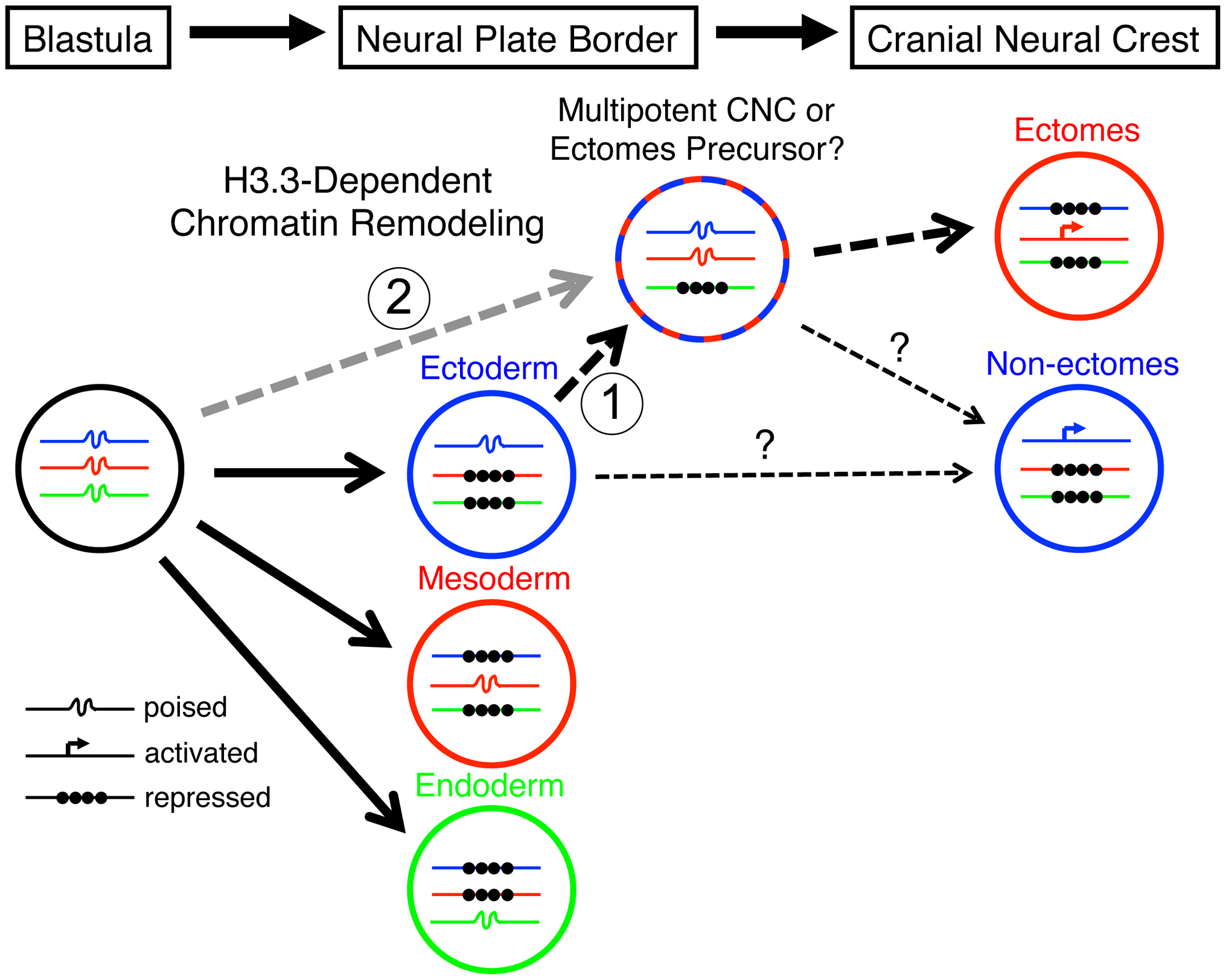 Model for the role of H3.3-dependent histone replacement during CNC development.