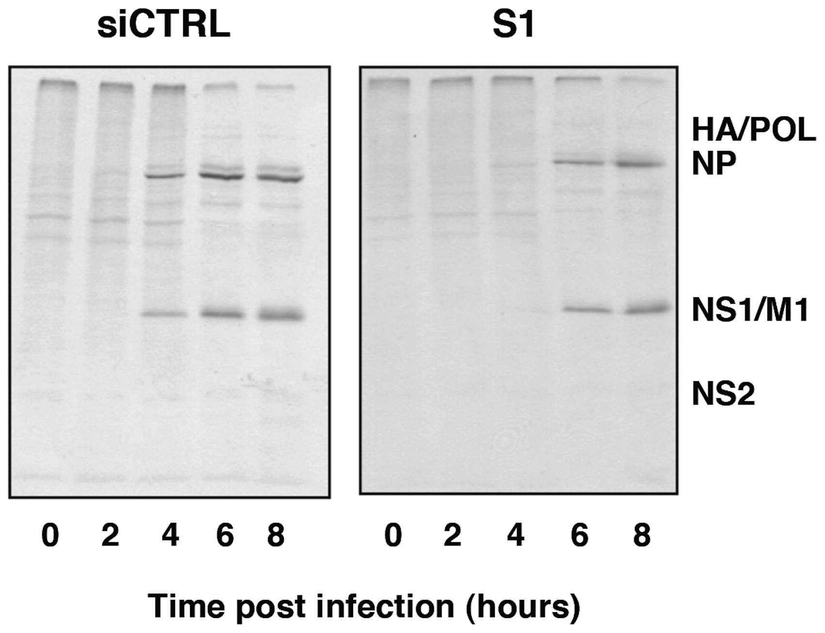 Kinetics of influenza virus protein synthesis in SFPQ/PSF-silenced cells.