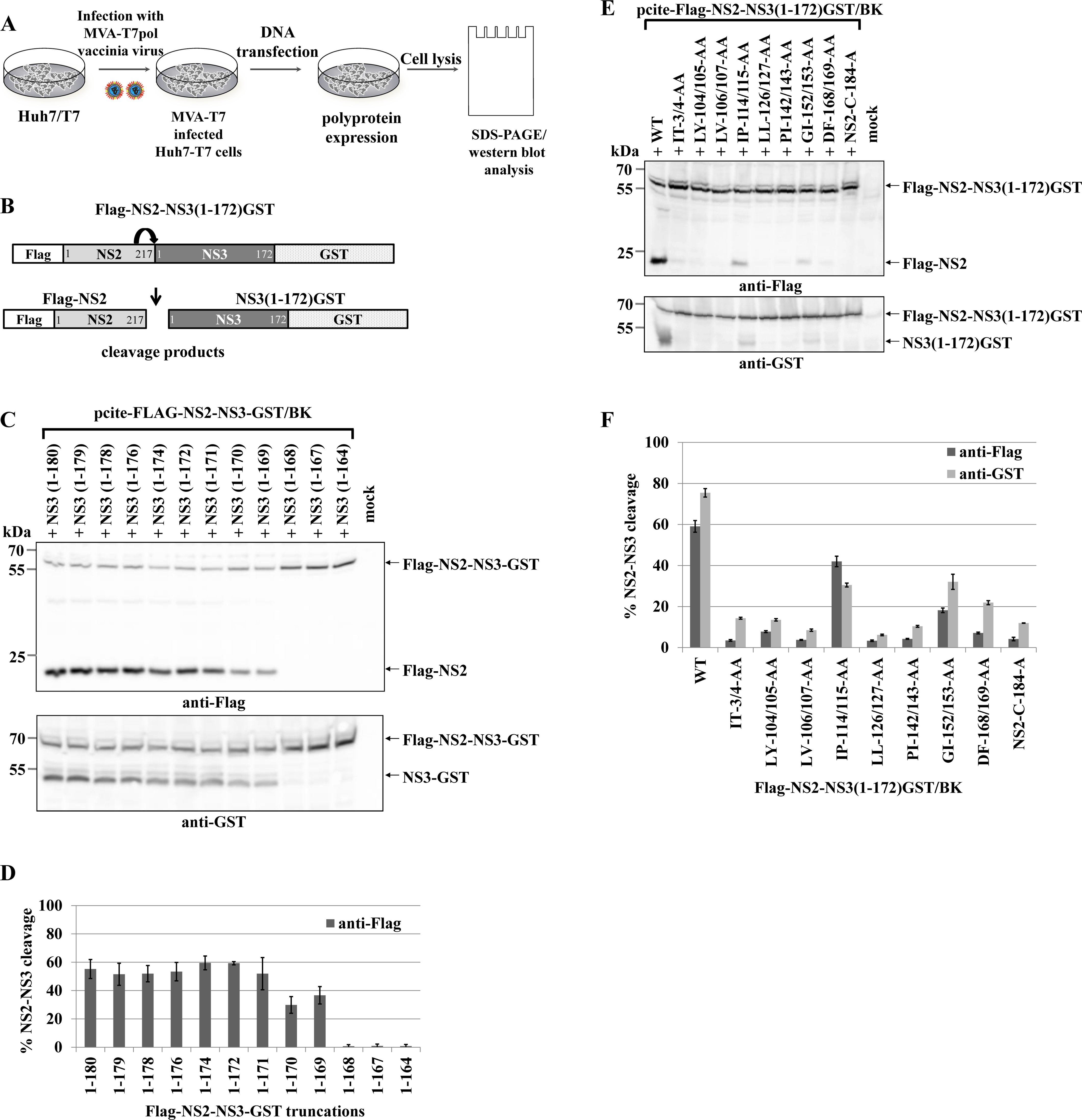 Di-alanine scanning mutagenesis of the NS3 protease domain identified amino acids important for the NS2-protease activation by NS3.