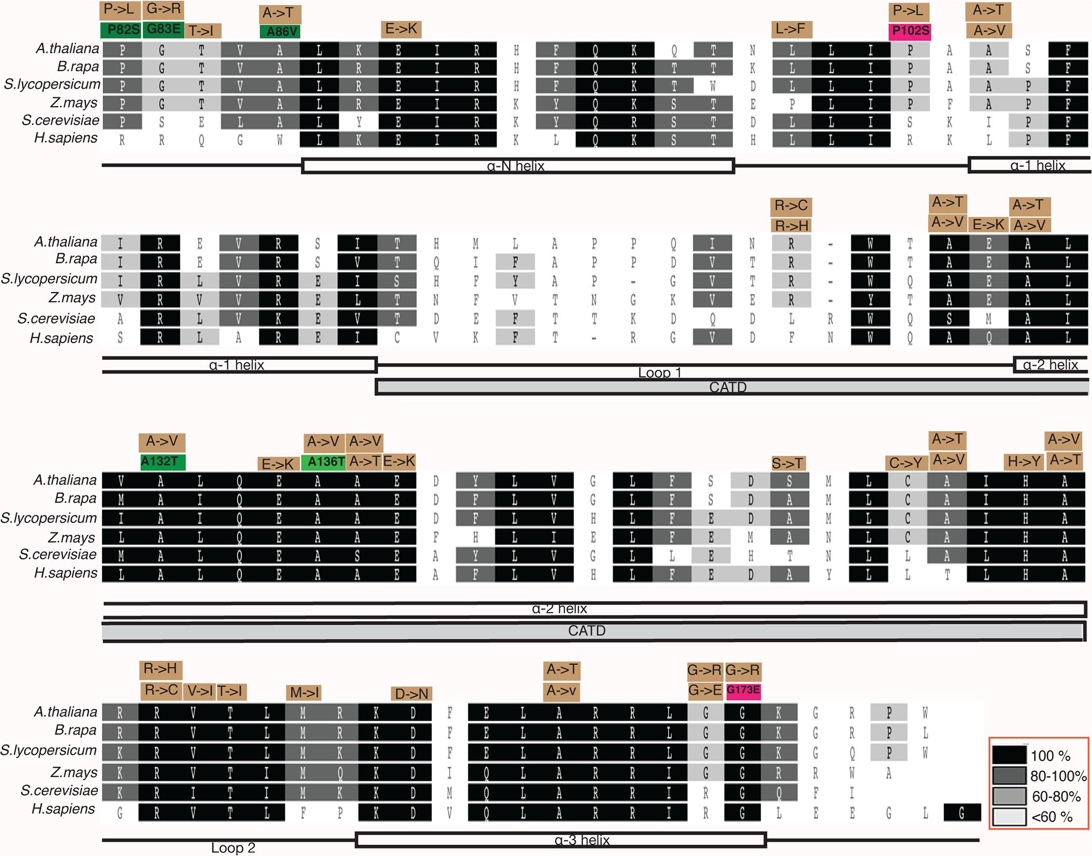 Multiple sequence alignment of CENH3 Histone Fold Domain (HFD) of <i>Arabidopsis thaliana</i>, <i>Brassica rapa</i>, <i>Solanum lycopersicum</i>, <i>Zea mays</i>, <i>Saccharomyces cerevisiae</i> and <i>Homo sapiens</i>.