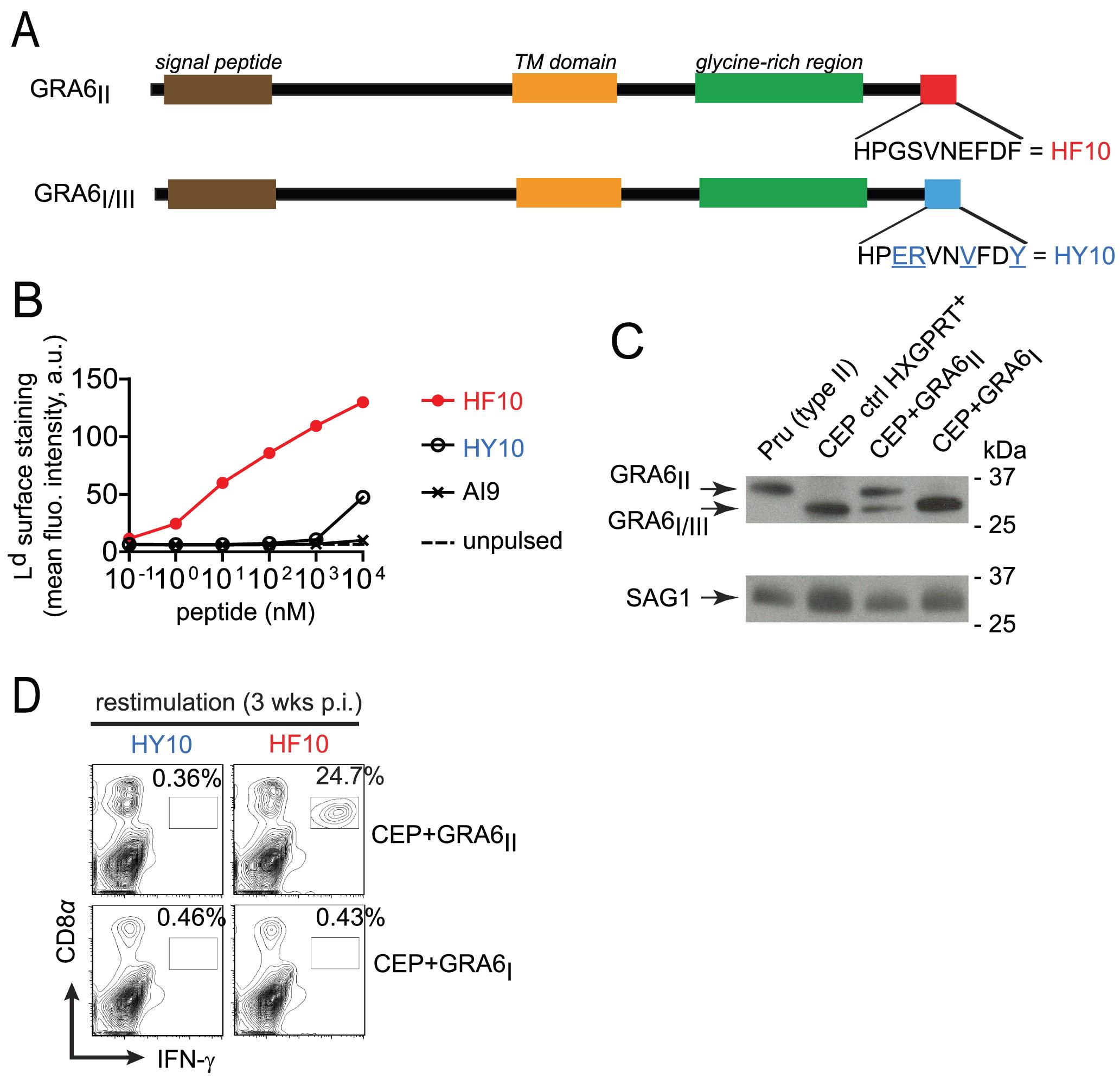 Type III transgenic <i>T. gondii</i> to study parasite immunogenicity.