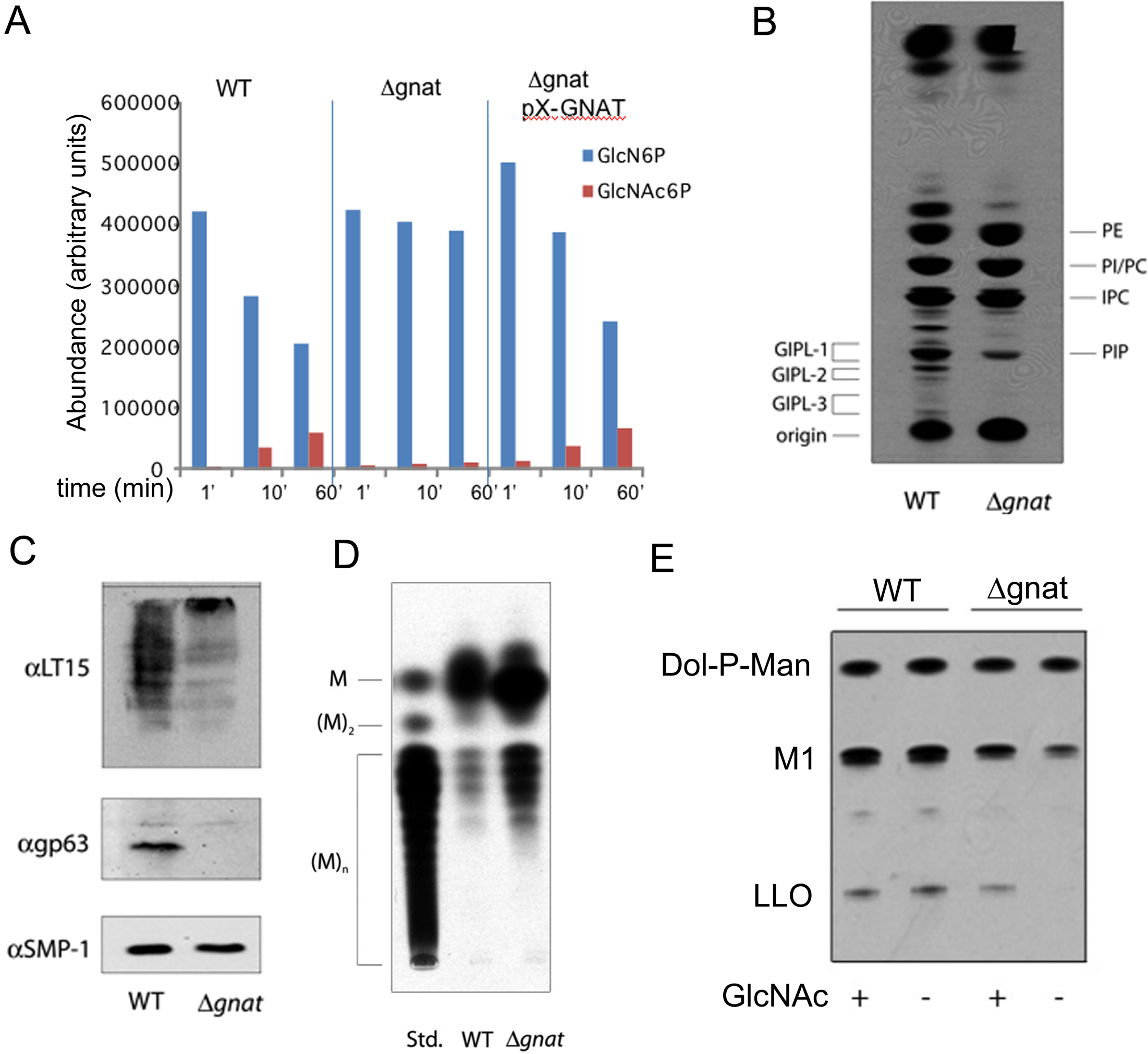 ∆<i>gnat</i> parasites lack GNAT activity and are defective in glycoconjugate biosynthesis.