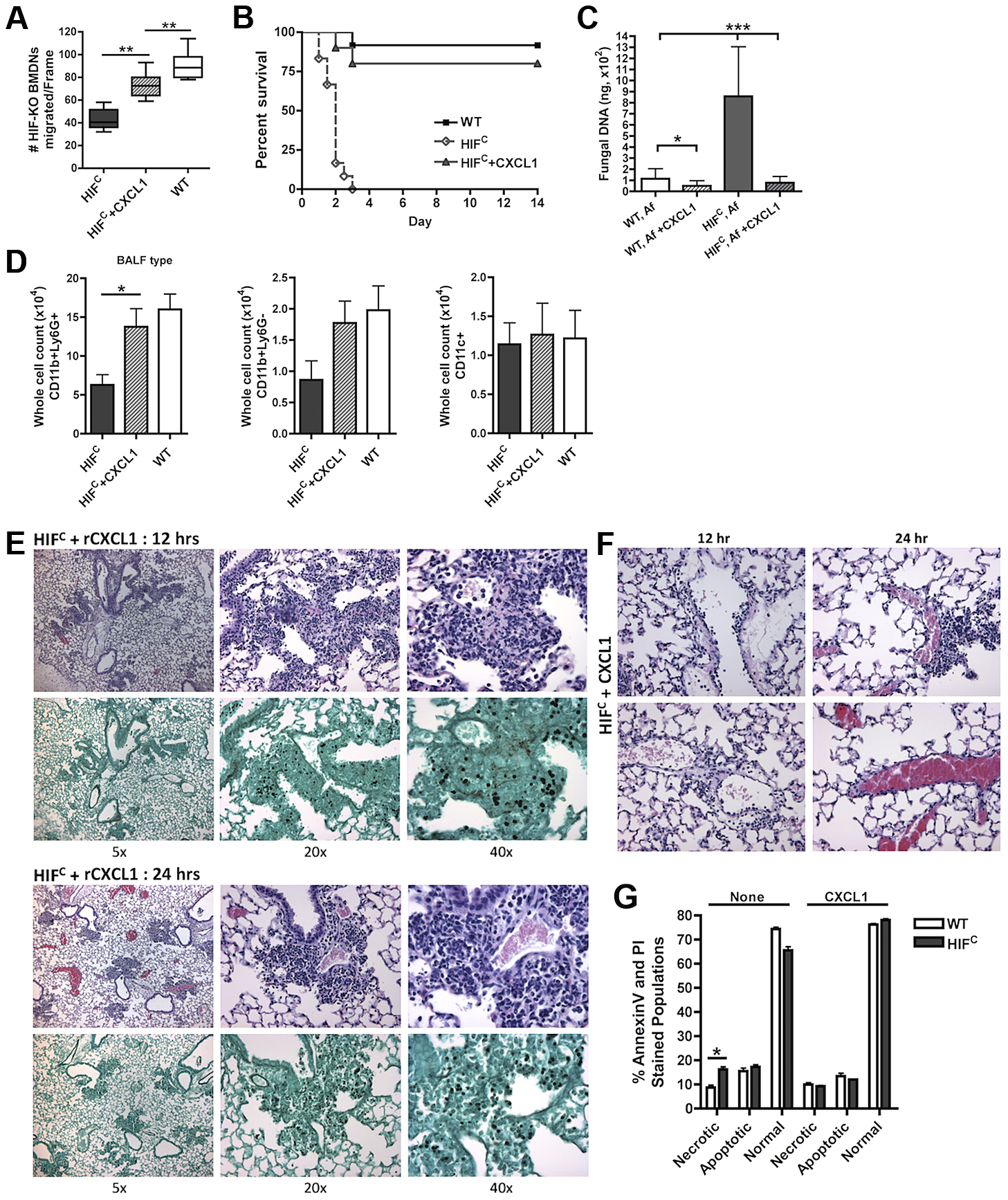 Restoration of physiologically relevant amounts of CXCL1 during infection restores neutrophil levels and survival of HIF<sup>C</sup> mice.