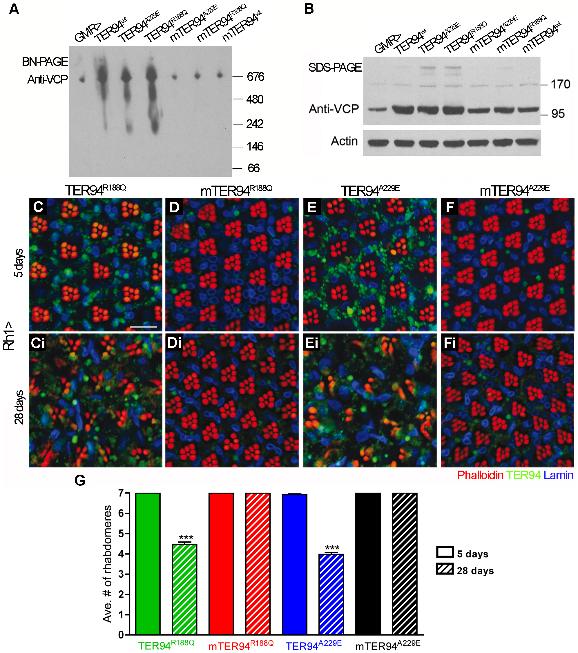 Formation of hexamers is crucial for the cytotoxicity of disease proteins.