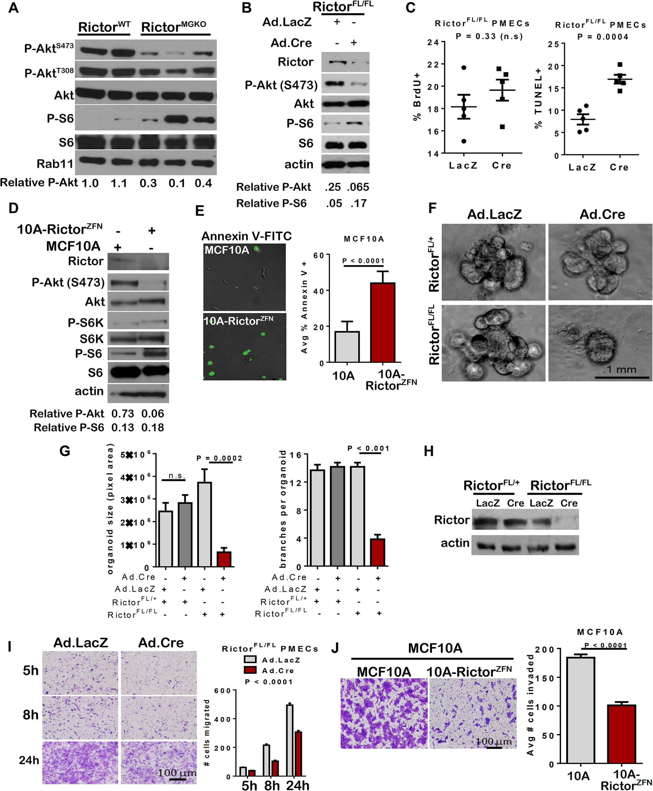 Impaired survival and morphogenesis of mammary epithelial structures upon loss of Rictor <i>ex vivo</i>.