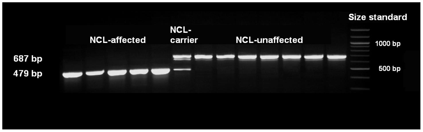 Mutation analysis of exon 16 using cDNA.